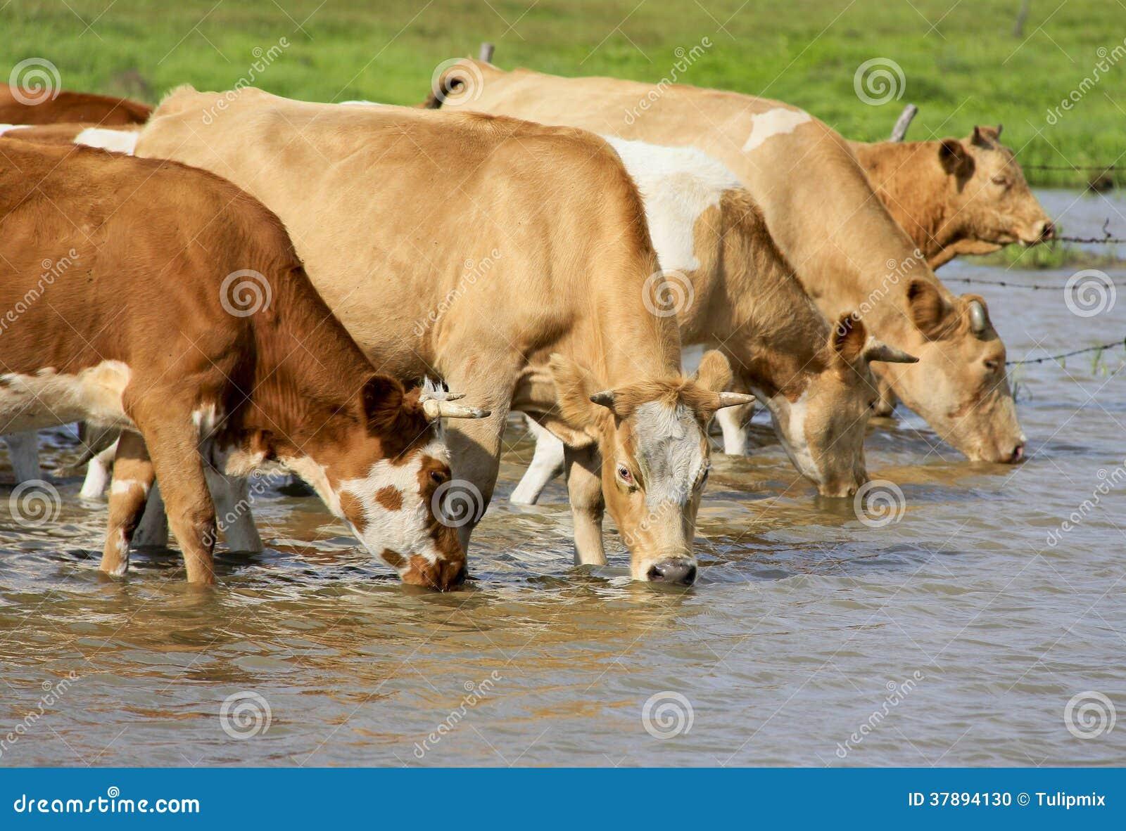 Koeien drinkwater