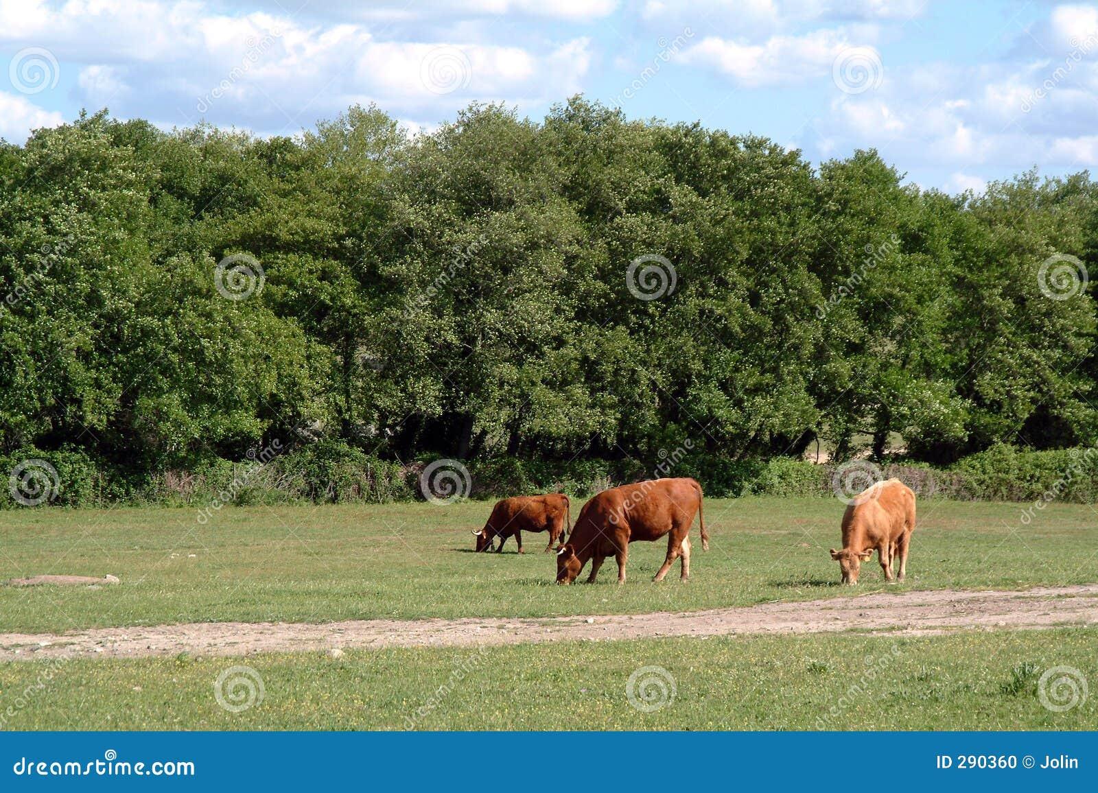 Koeien in handelt hij af