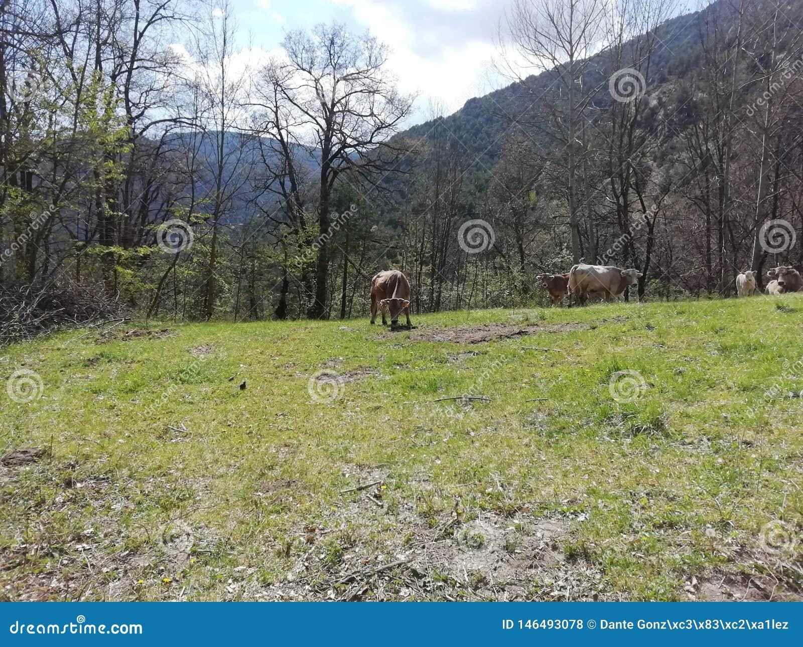 Koeien in het kamp