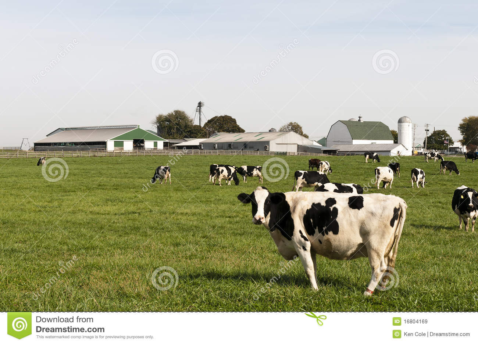 Koeien in landbouwbedrijfweiland