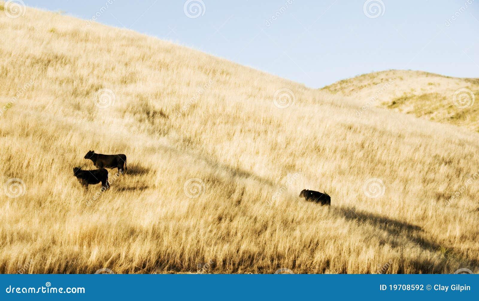 Koeien op een Heuvel