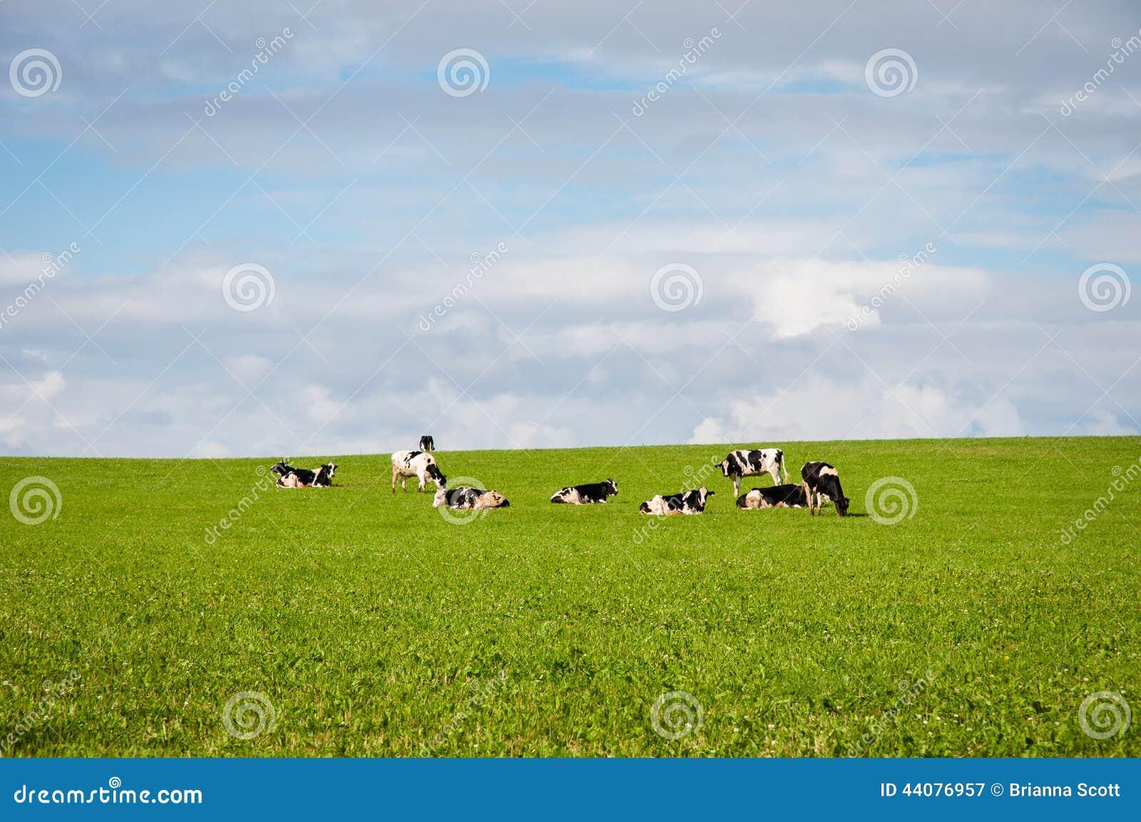 Koeien op gebied