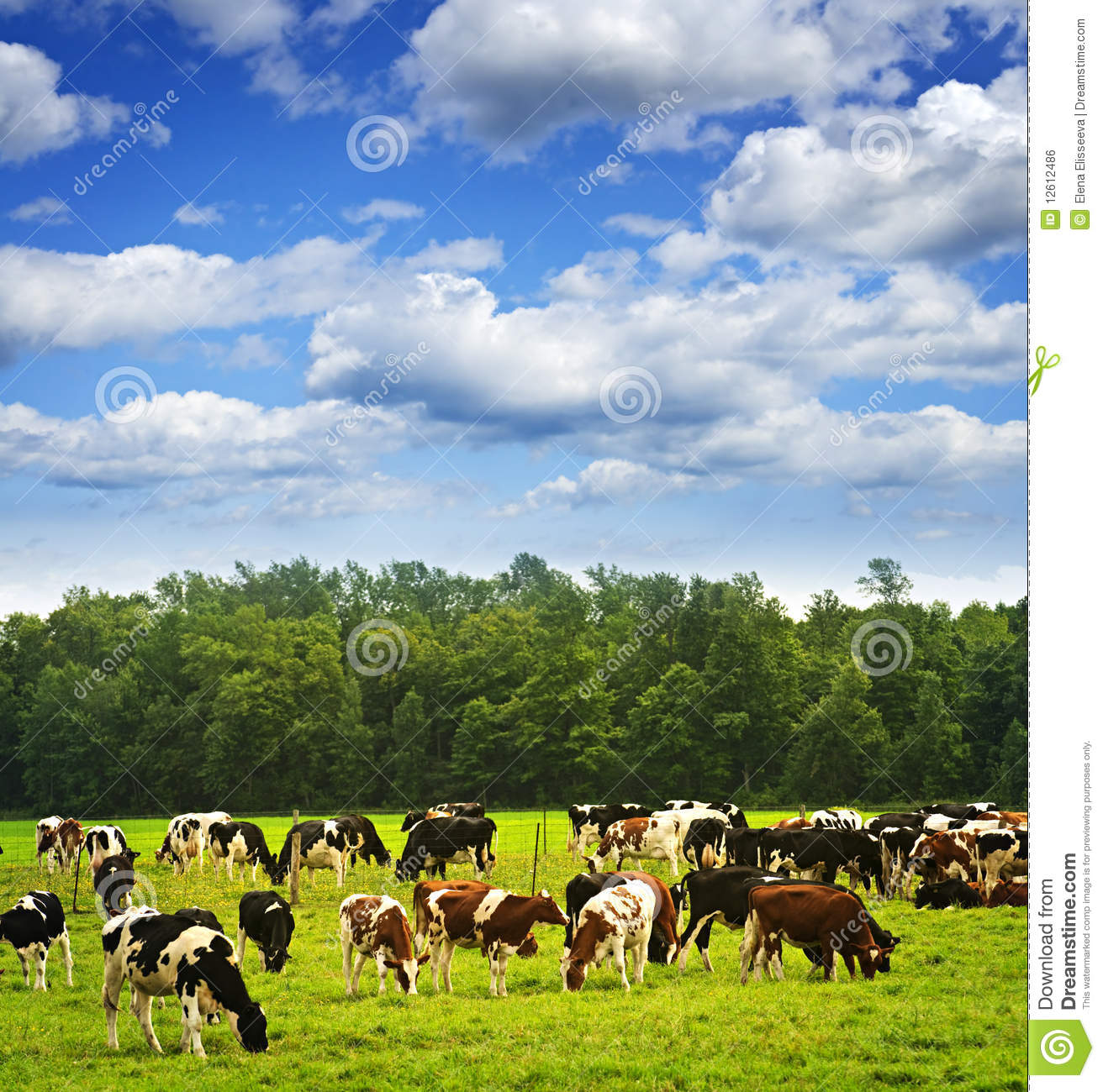 Cows Website Design