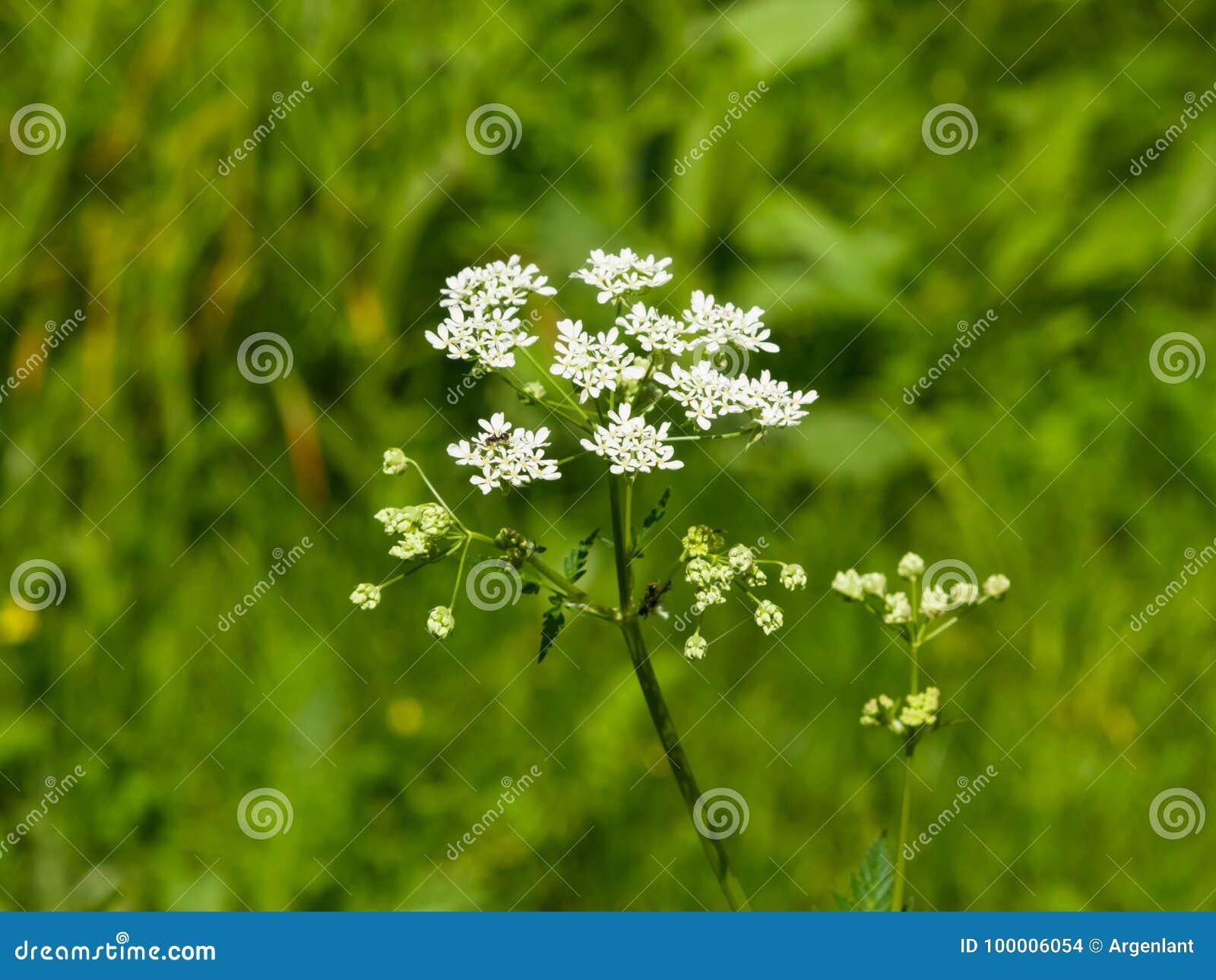 Koepeterselie of Wilde Kervel, Anthriscus-sylvestris, de macro, selectieve nadruk van bloemclusters, ondiepe DOF