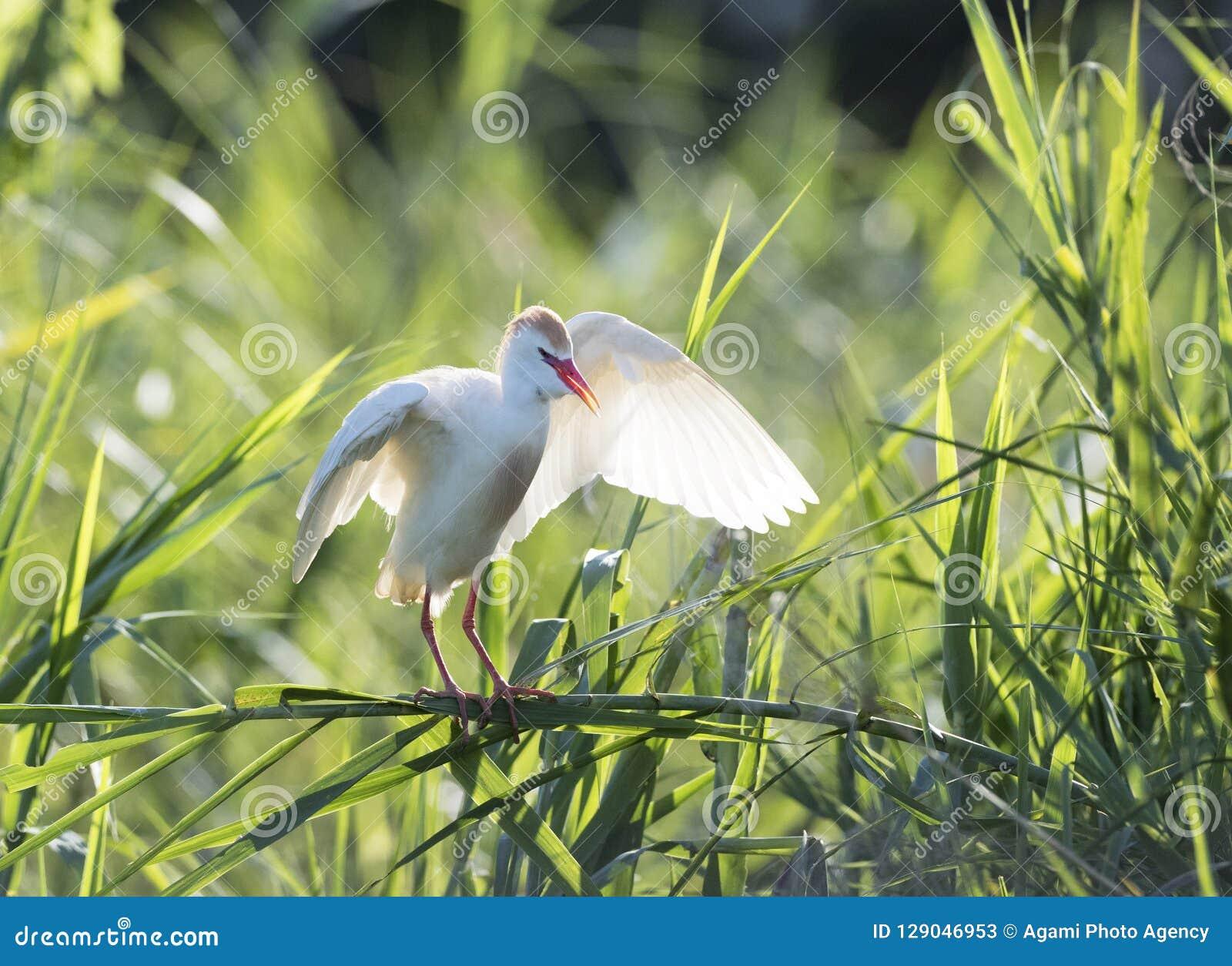 Koereiger, Egret скотин, Bubulcus ibis