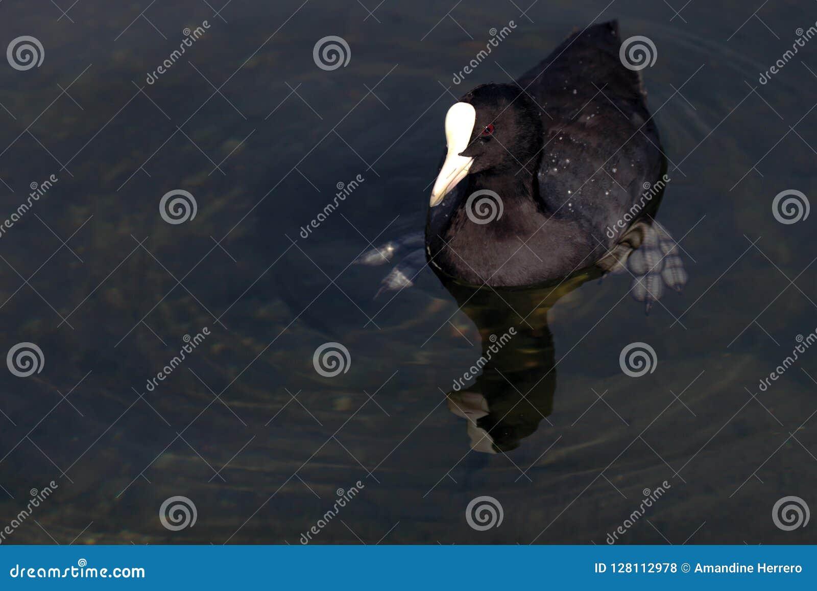 Koet die in het water zwemmen