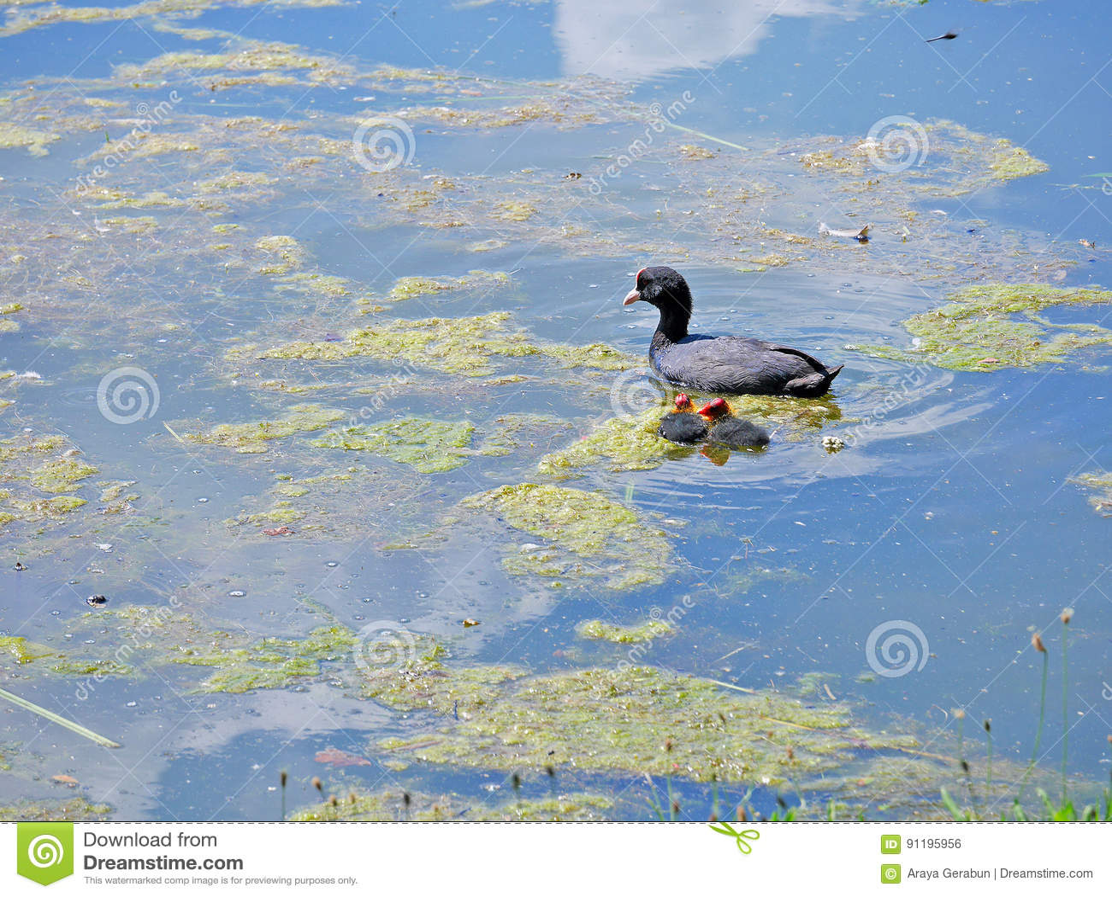 Koetwaterbirds