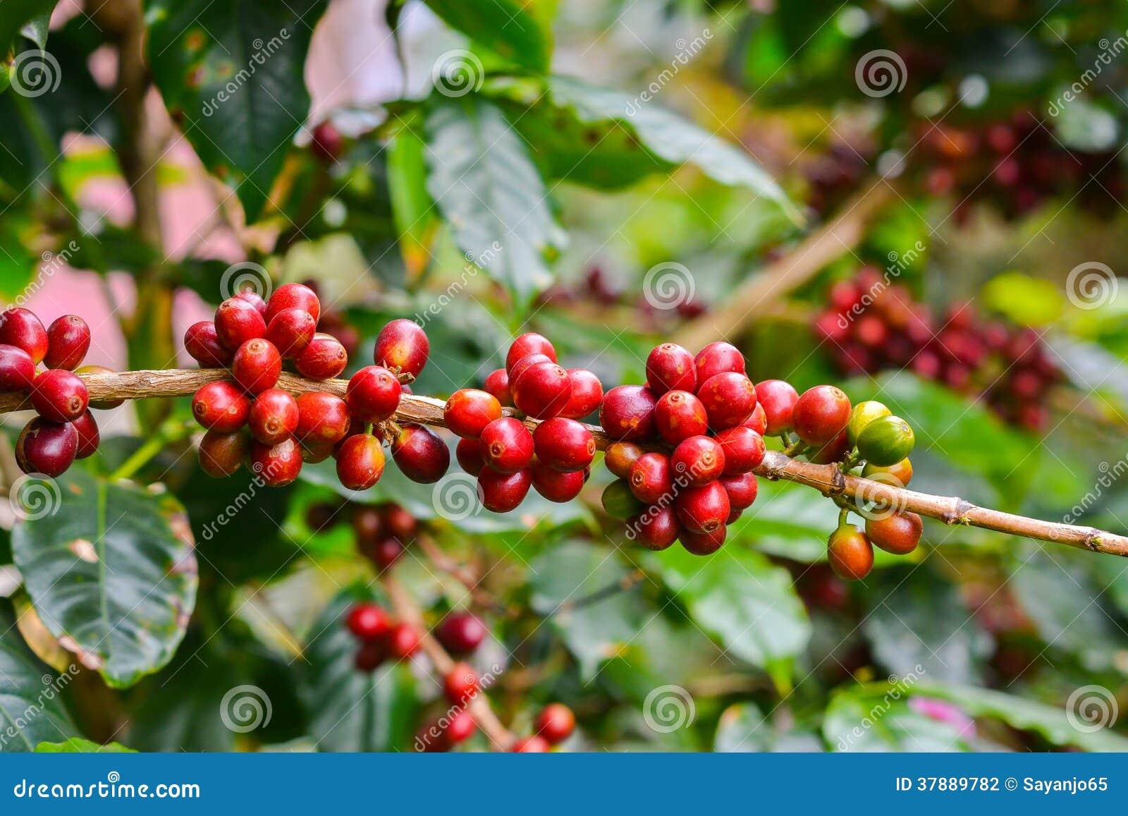 Koffie - rode vruchten nog op installatie.