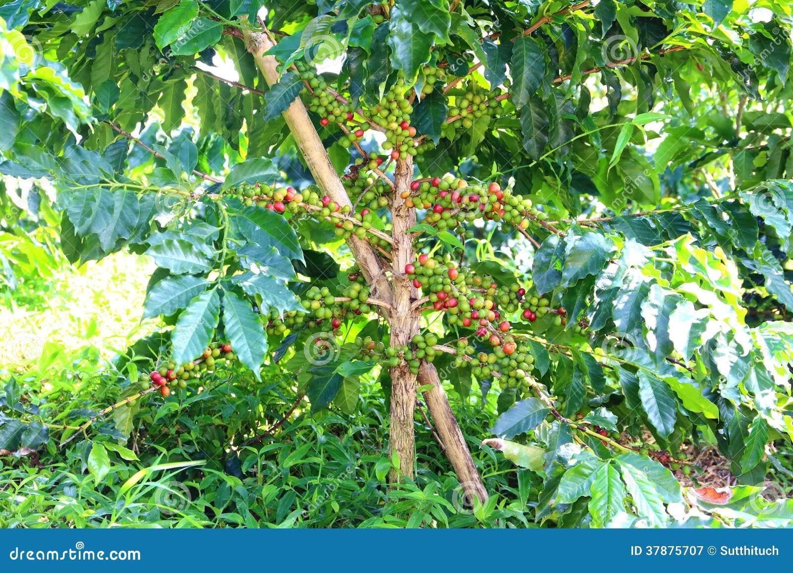 Koffieaanplanting