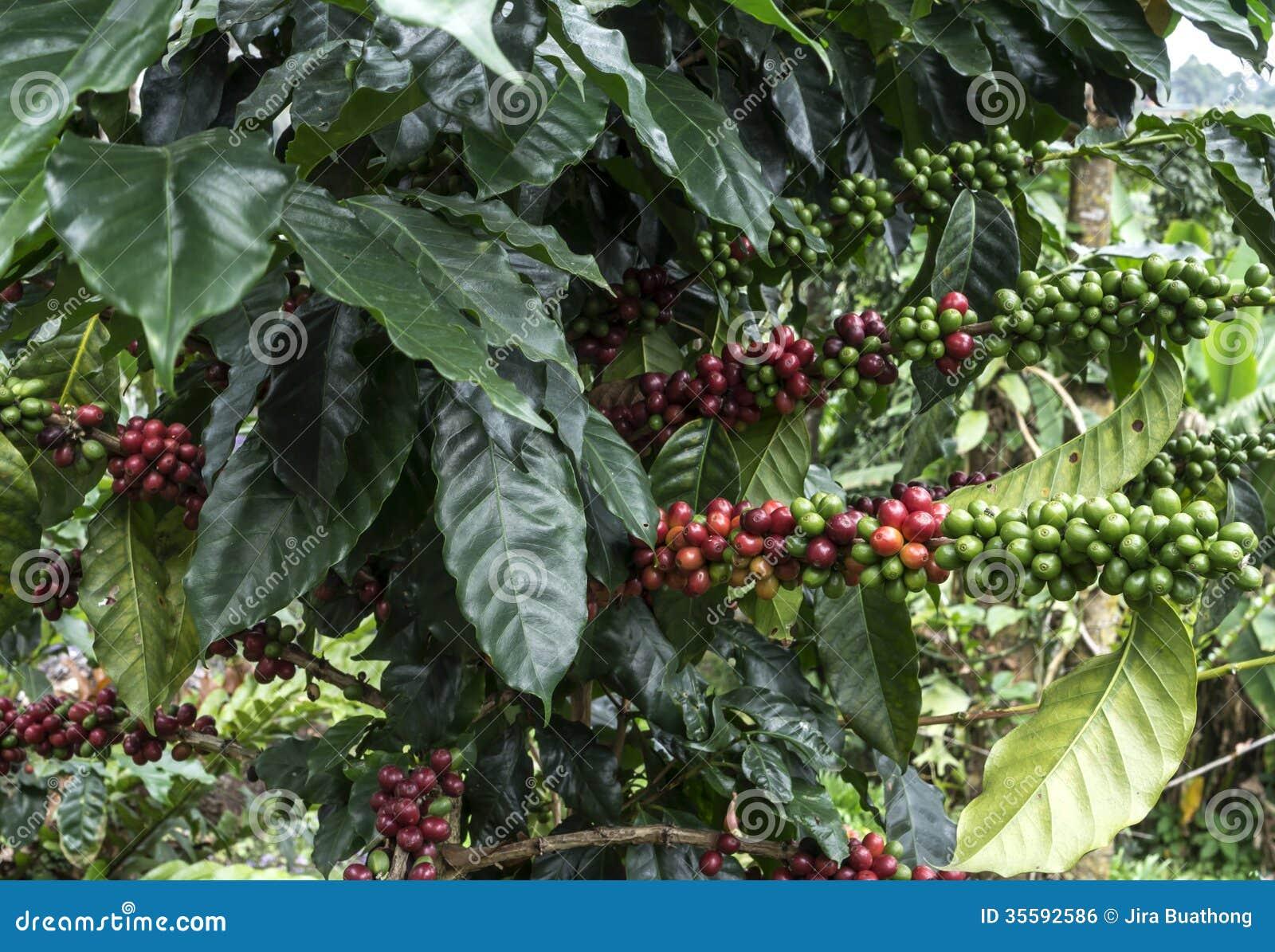 Koffiebomen