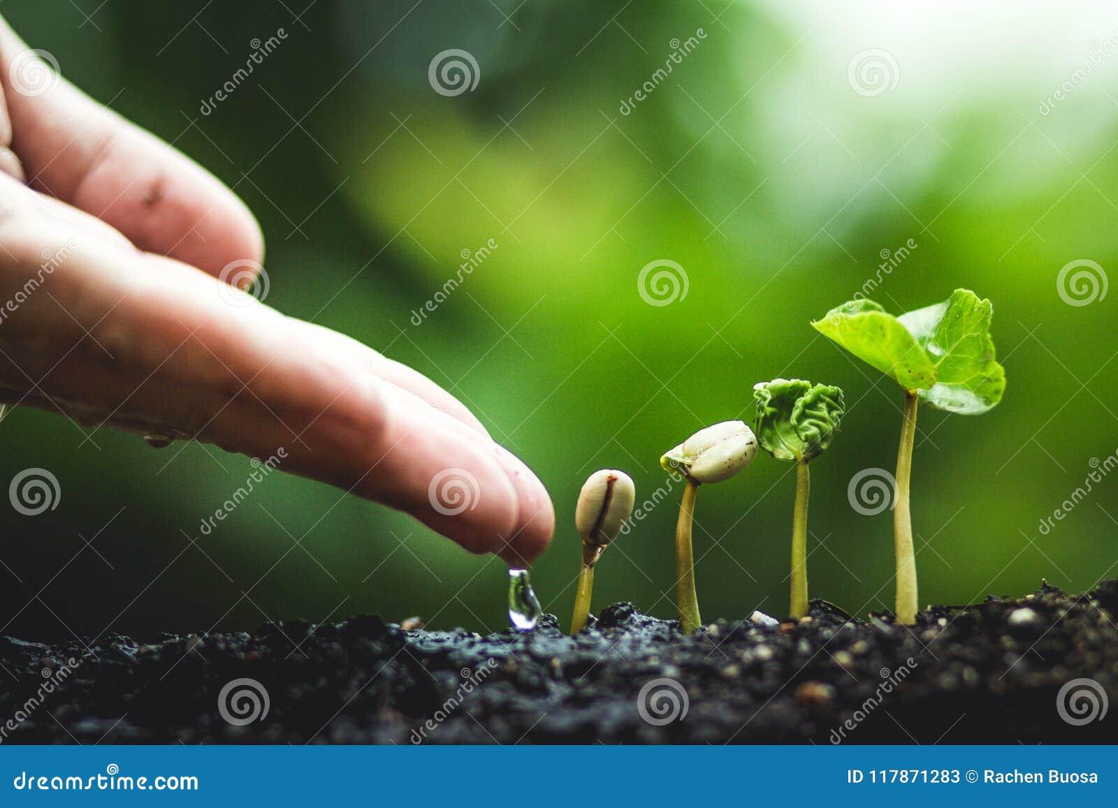 Koffieboom die Plantend zaden in aard regenachtig seizoen groeien