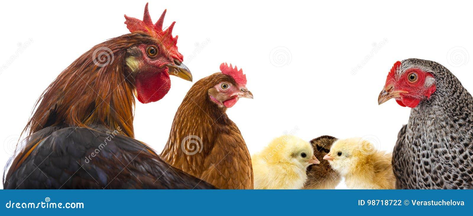 Kogut, karmazynki i kurczaki