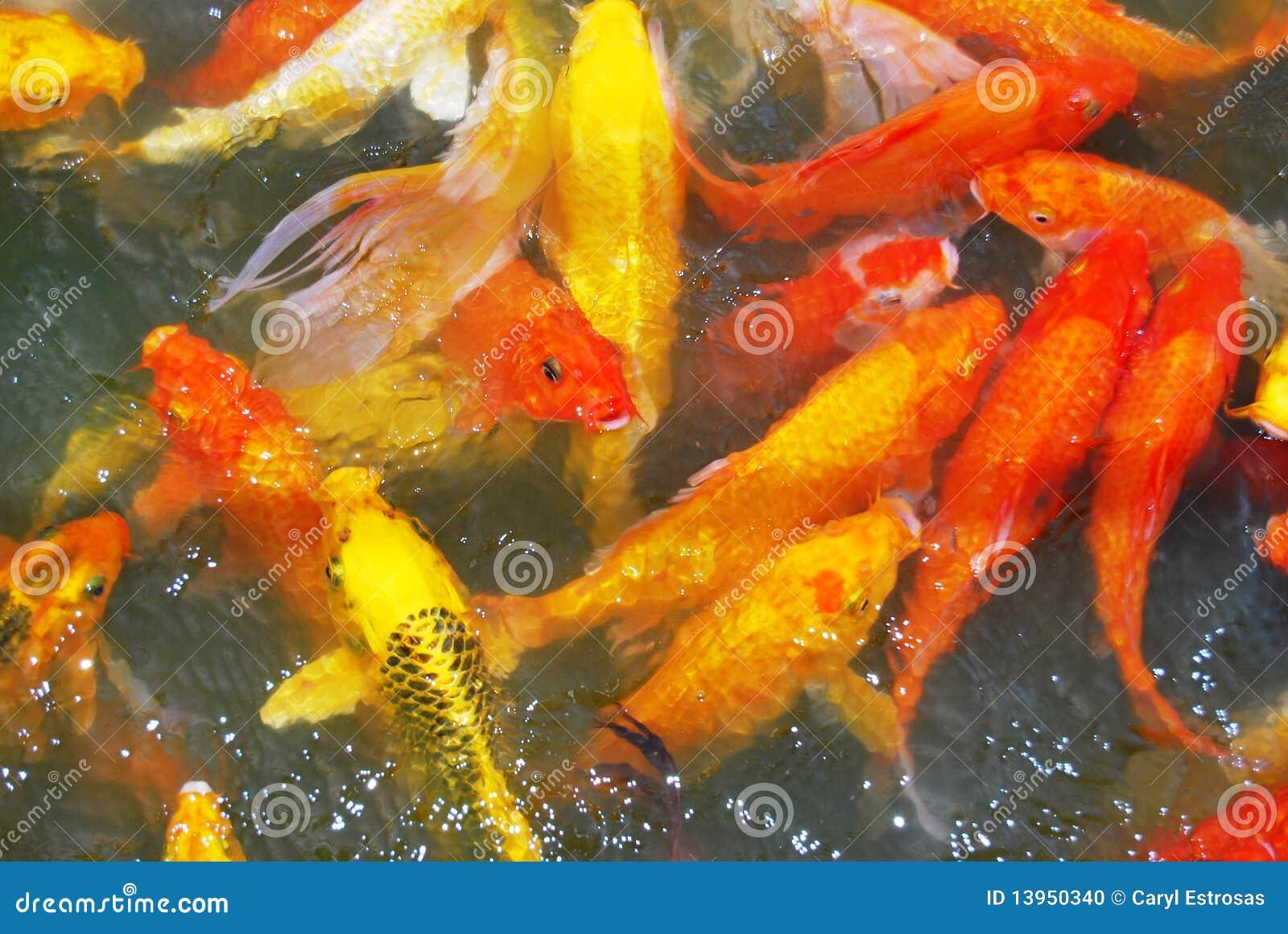 Koi stock photo image 13950340 for Ornamental carp