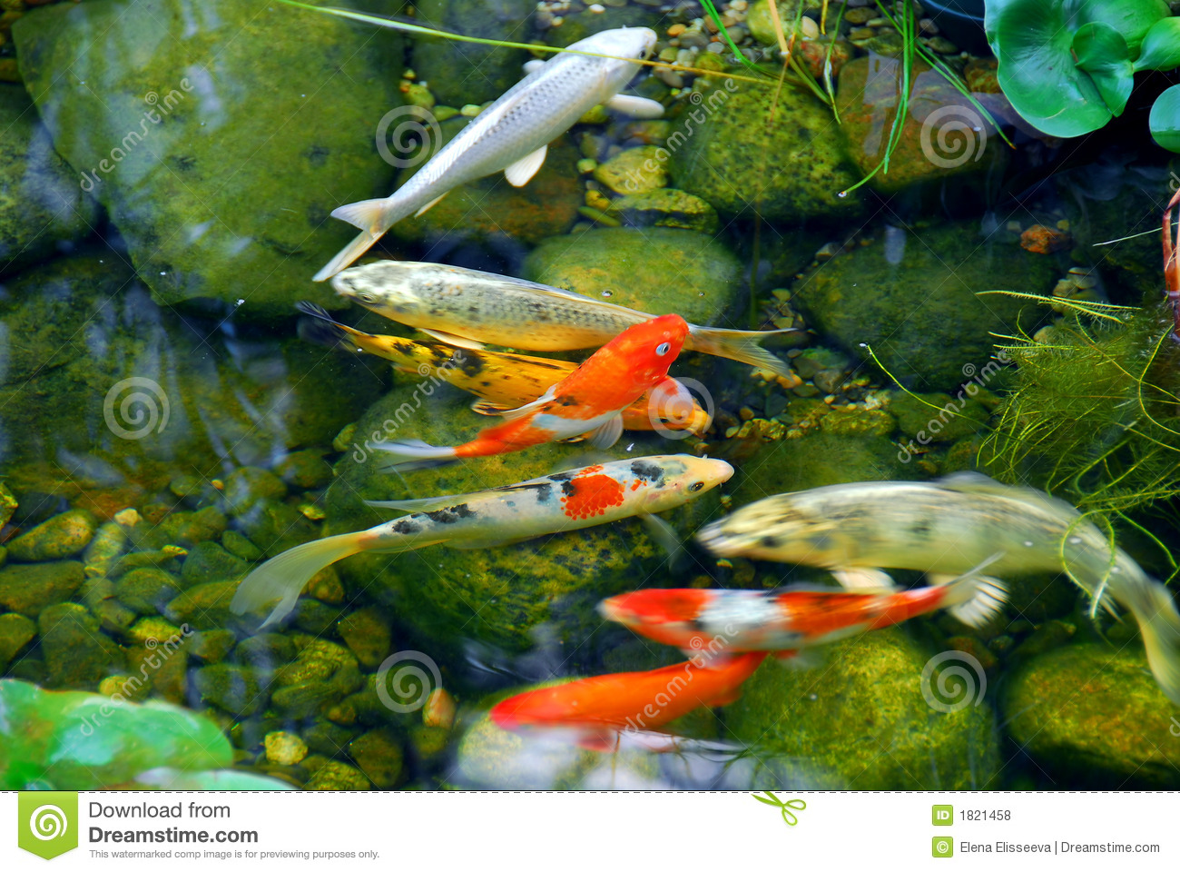 Koi royalty free stock photos image 1821458 for Stone koi pond