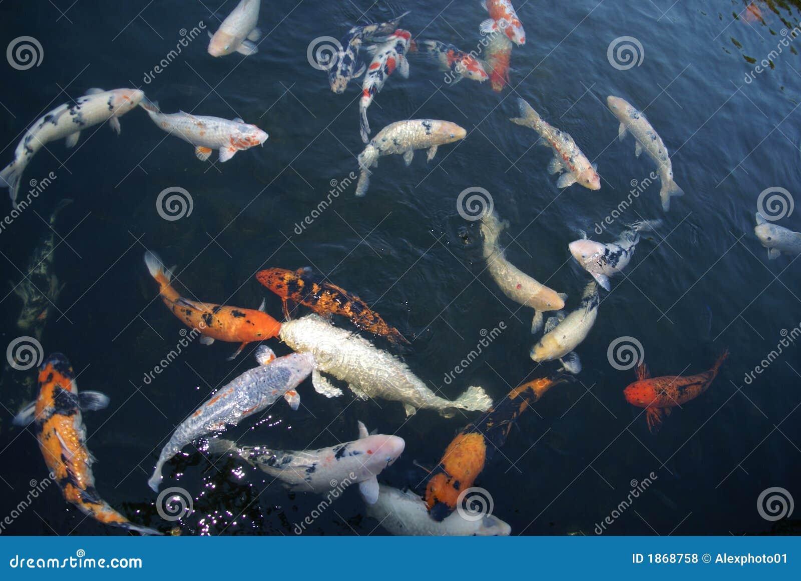 Koi royalty free stock photos image 1868758 for Koi fish near me