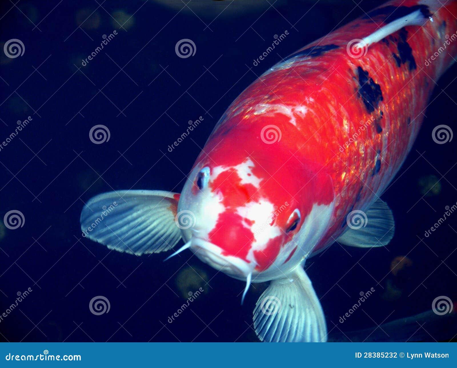 Koi stock photography image 28385232 for Big coy fish
