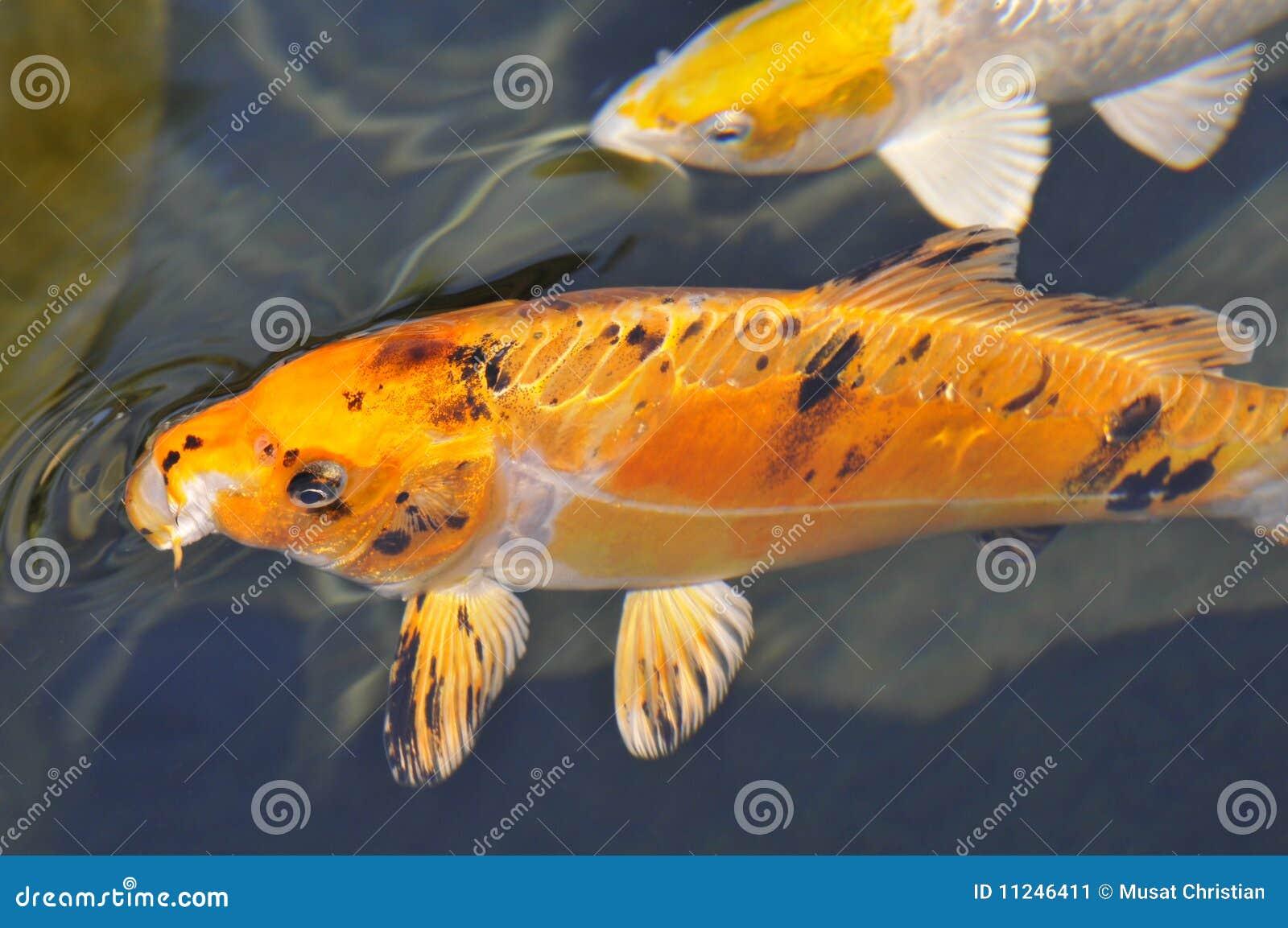 koi anaranjado de la carpa imagen de archivo