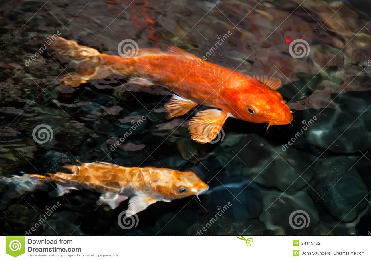 Koi carp stock photography image 24145402 for Koi ponds near me