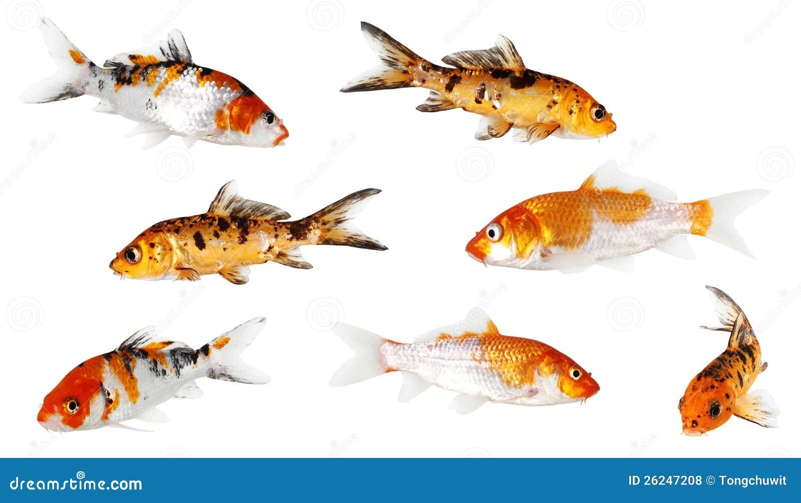 Koi carp royalty free stock photos image 26247208 for Fraie carpe koi