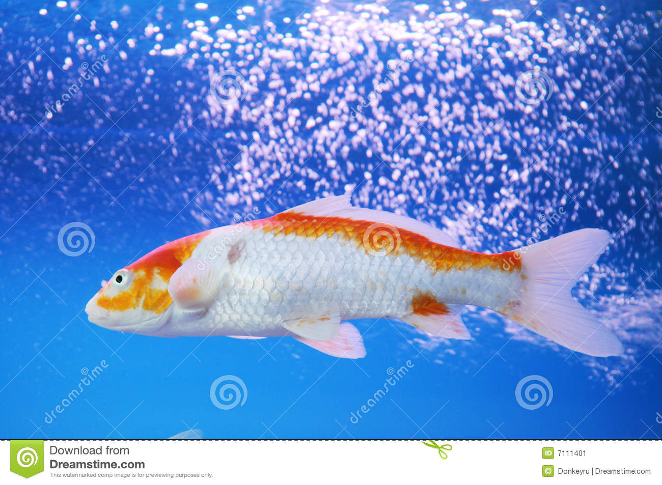 The koi carp in aquarium stock image image 7111401 for Carpe koi bleu