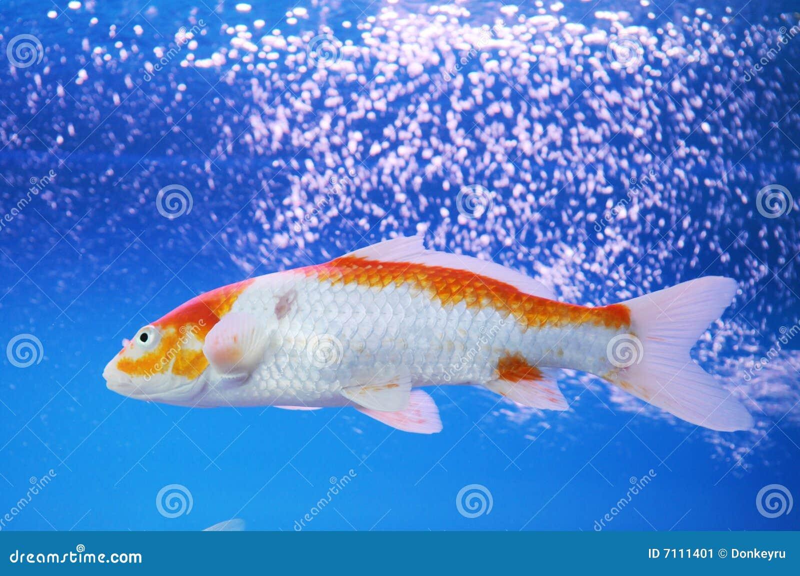 The koi carp in aquarium stock image image 7111401 for Koi im aquarium