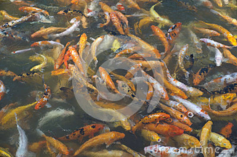 Koi or carp chinese fish in water stock photo image 38940087 for Chinese coy fish