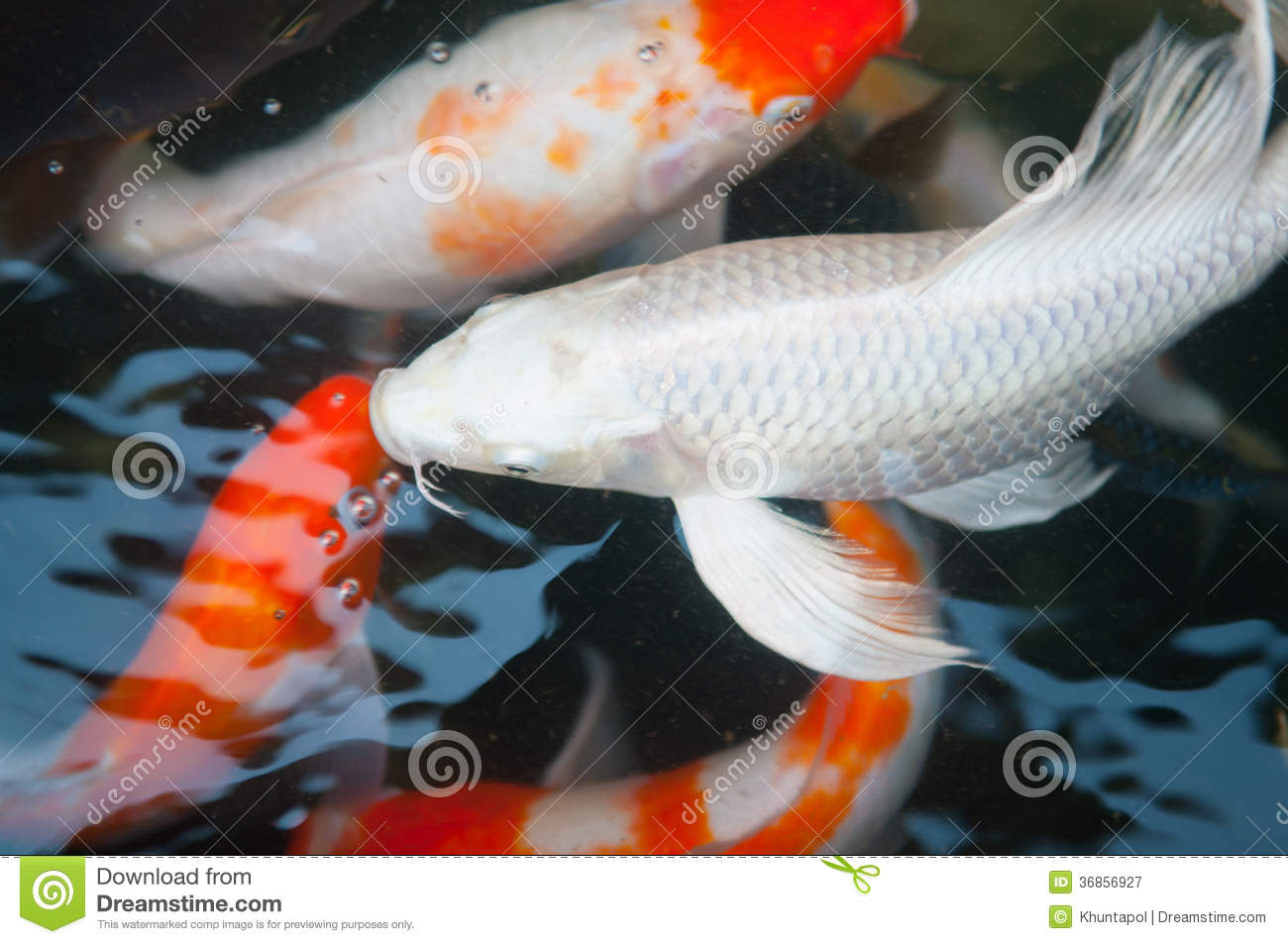 Koi or carp chinese fish in water stock image image for Koi fish water