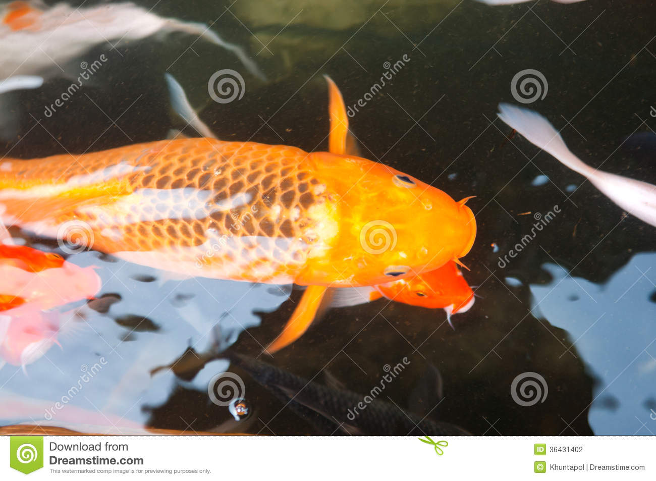 Koi or carp chinese fish in water stock photo image of for Koi carp farm