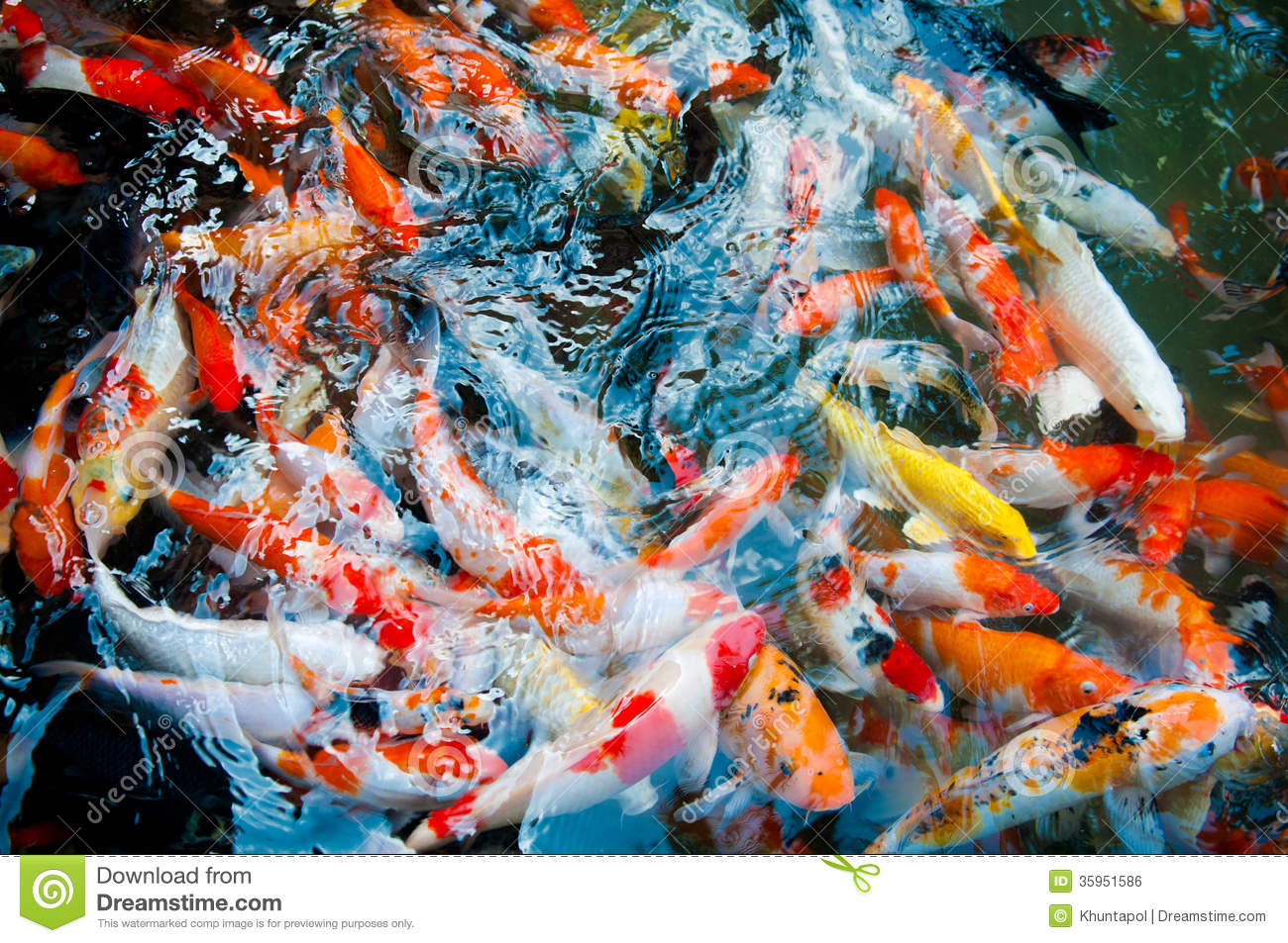 Koi or carp chinese fish in water stock photo image for Koi carp farm