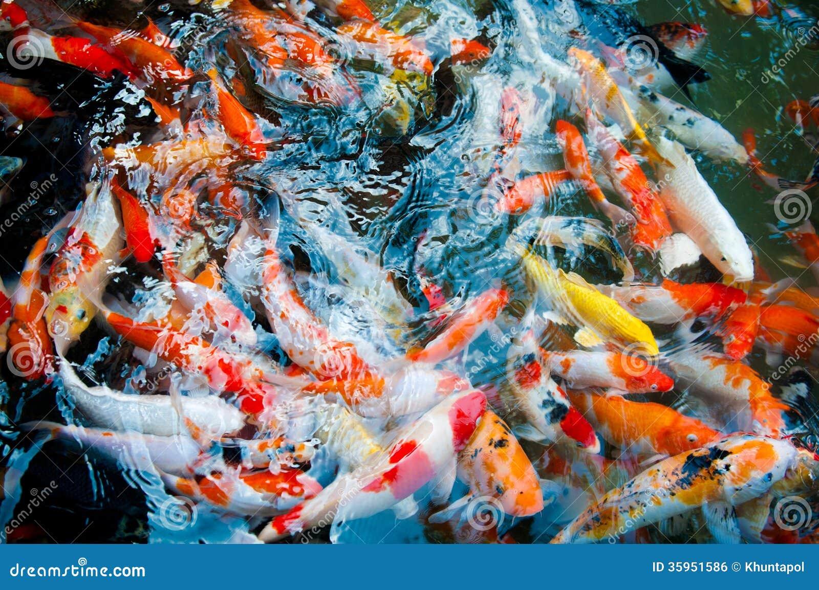 Koi or carp chinese fish in water stock photo image for Koi carp farm