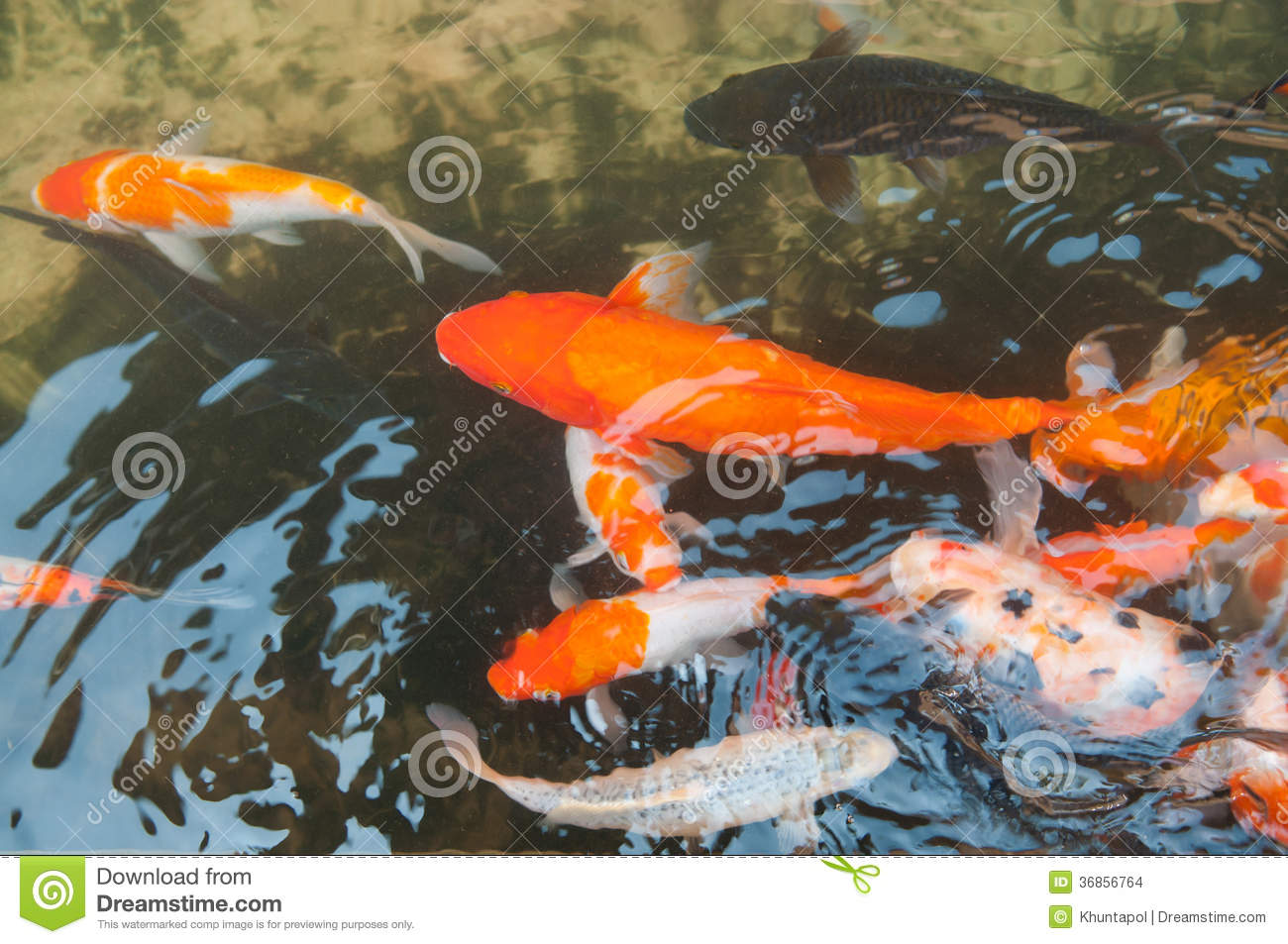 Koi or carp chinese fish in water stock images image for Koi fish water
