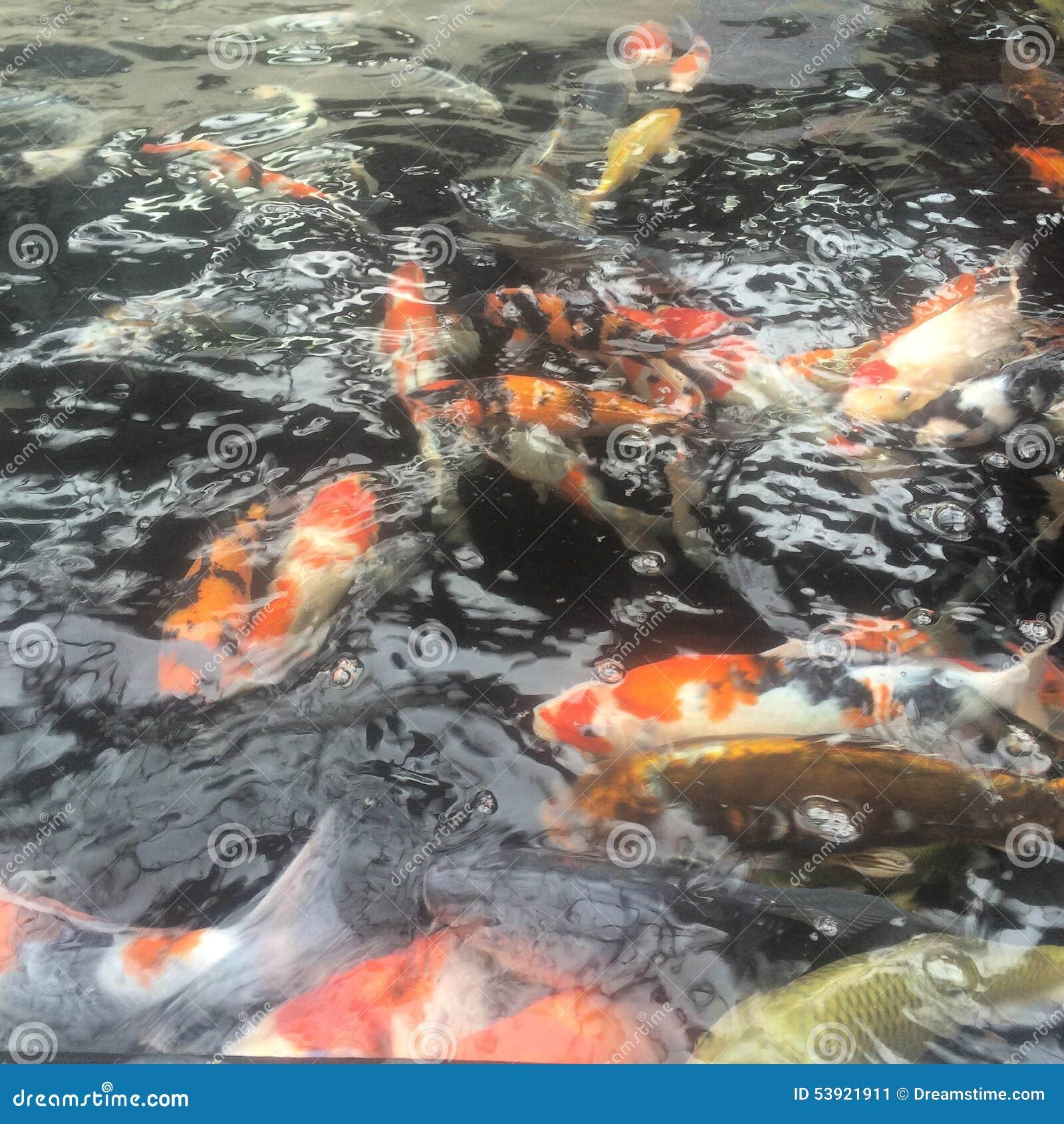 Koi Carp Stock Photo Image 53921911