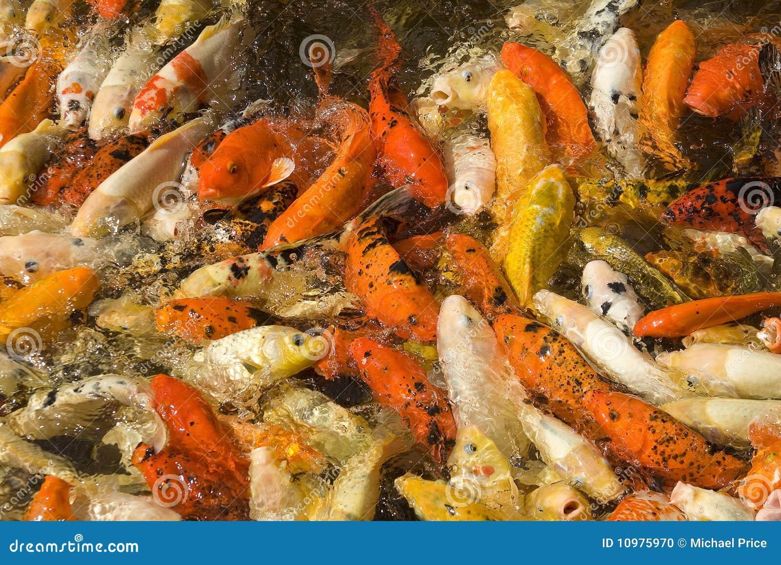 Koi Carp Feeding Frenzy Stock Photo Image 10975970
