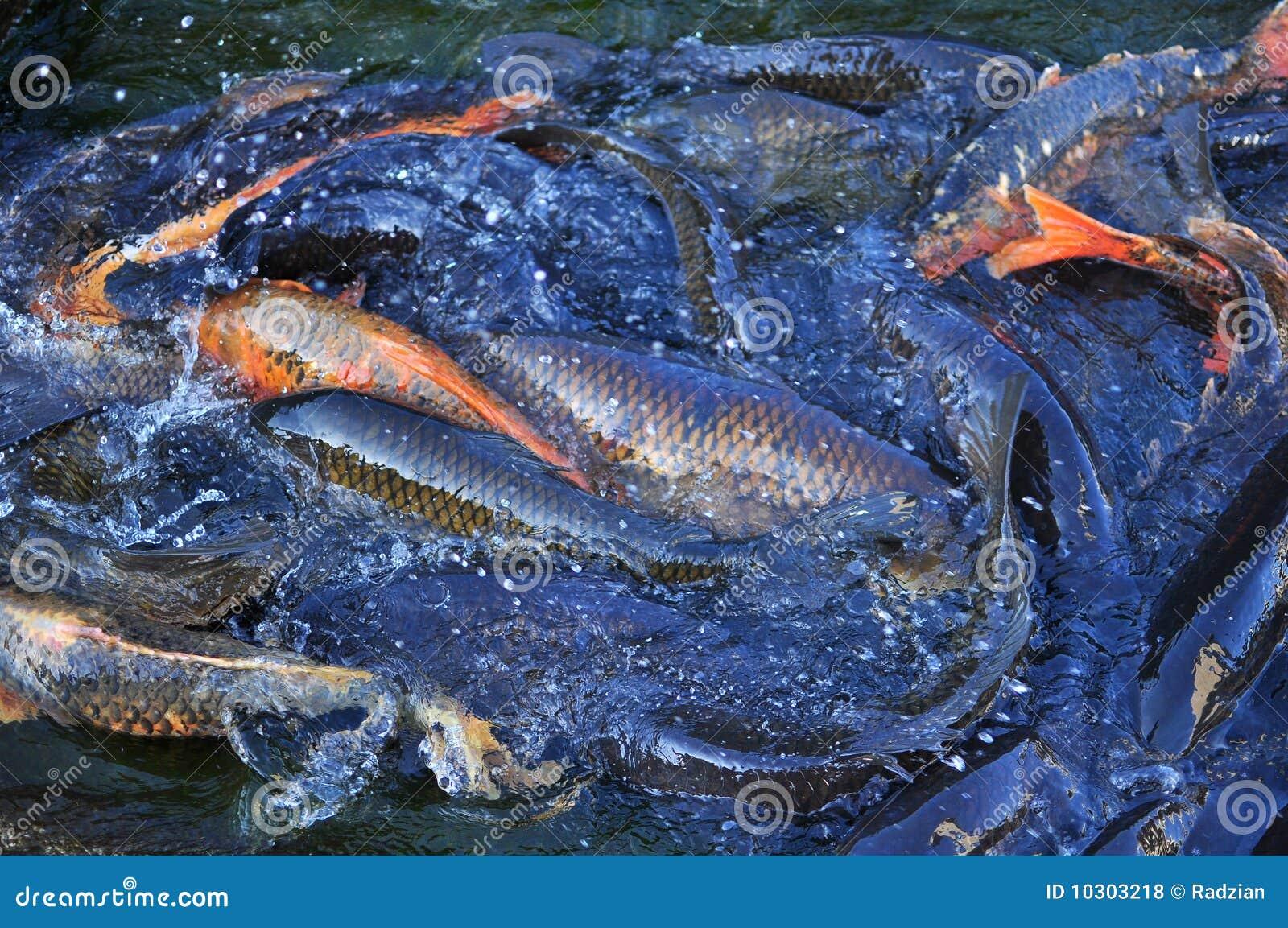Koi carp fish royalty free stock photos image 10303218 for Fraie carpe koi