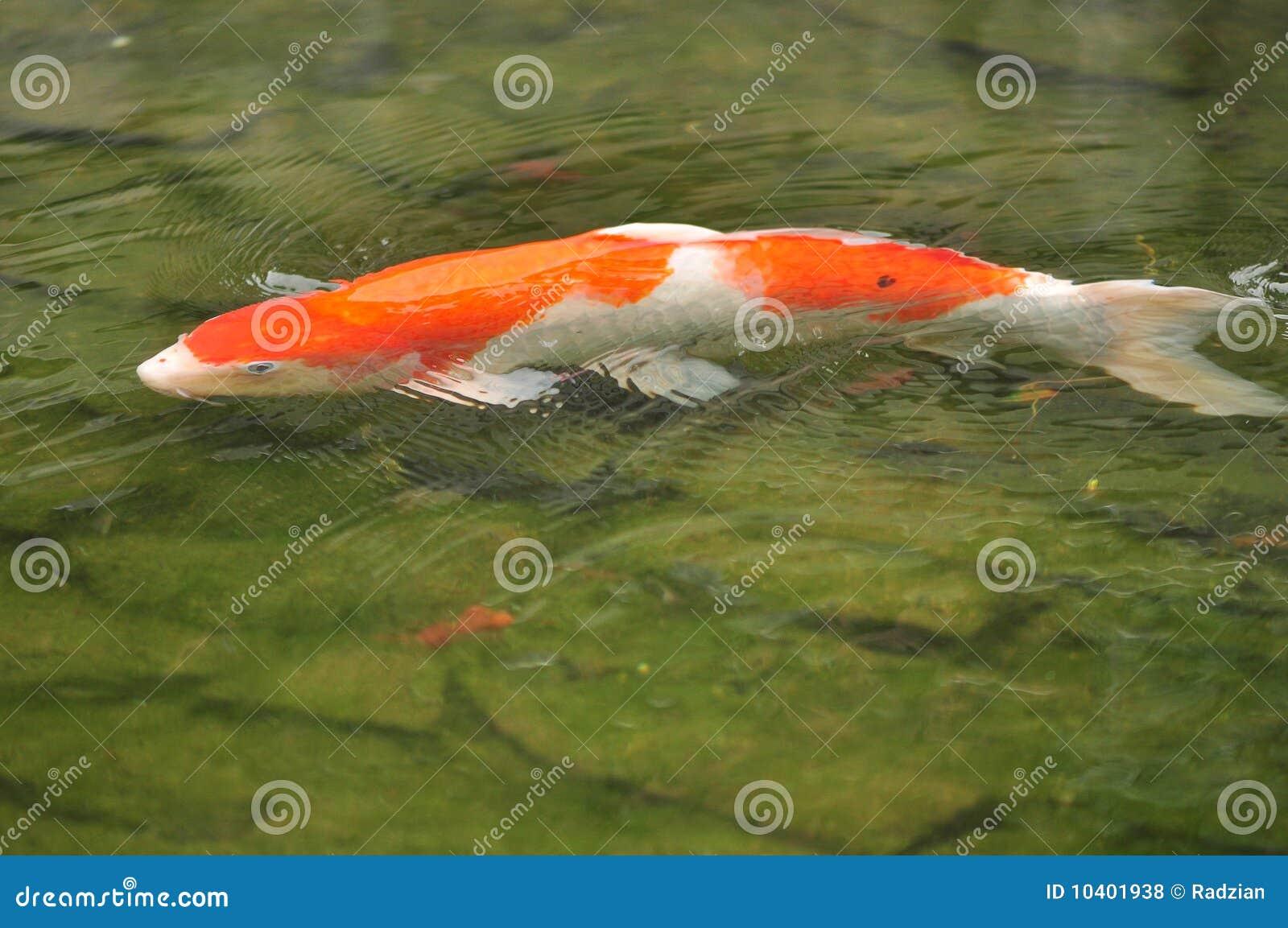 Koi carp fish stock photo image of pads single green for Japanese koi carp