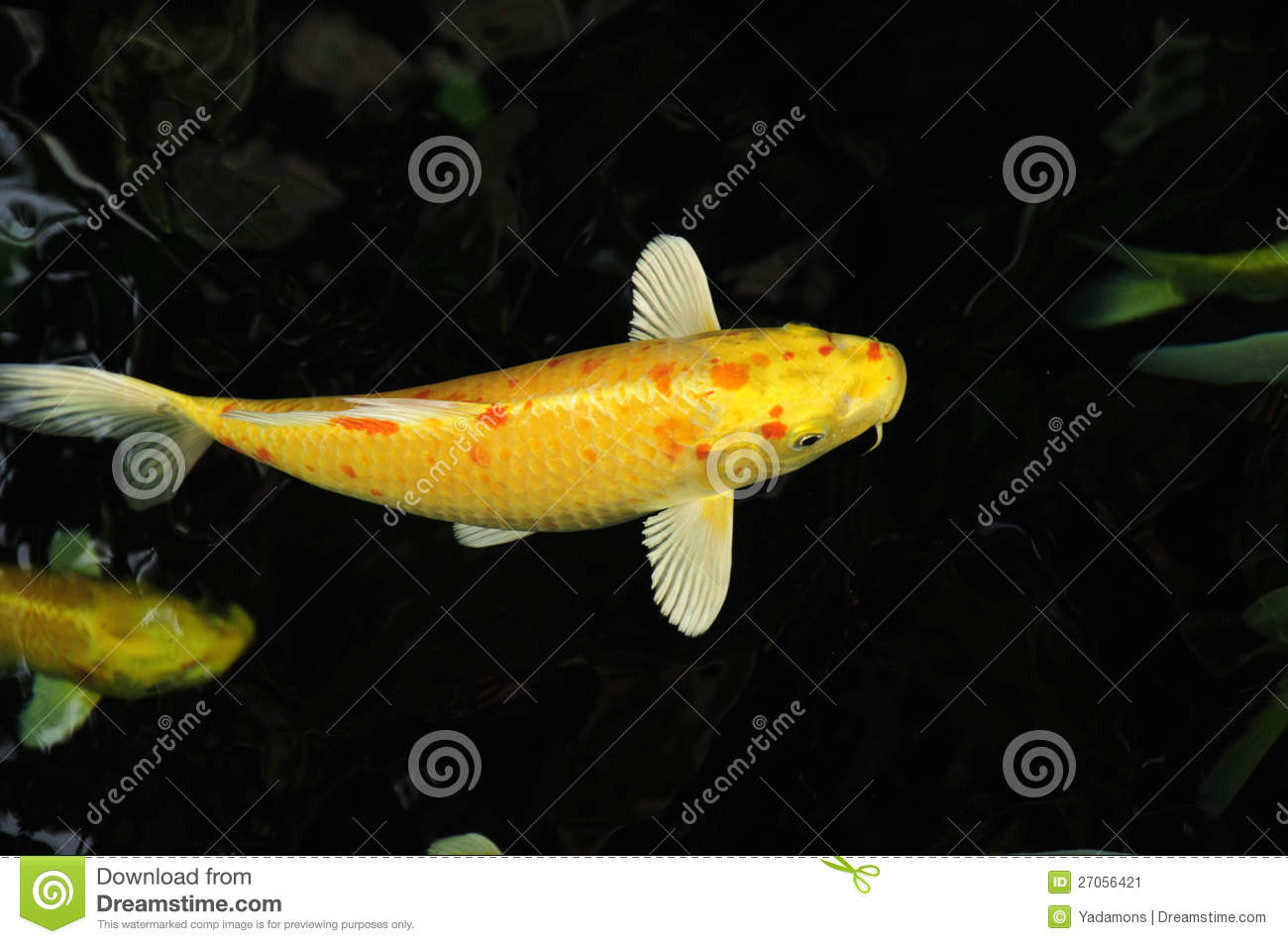 Koi carp fish stock image image 27056421 for Japanese koi carp fish