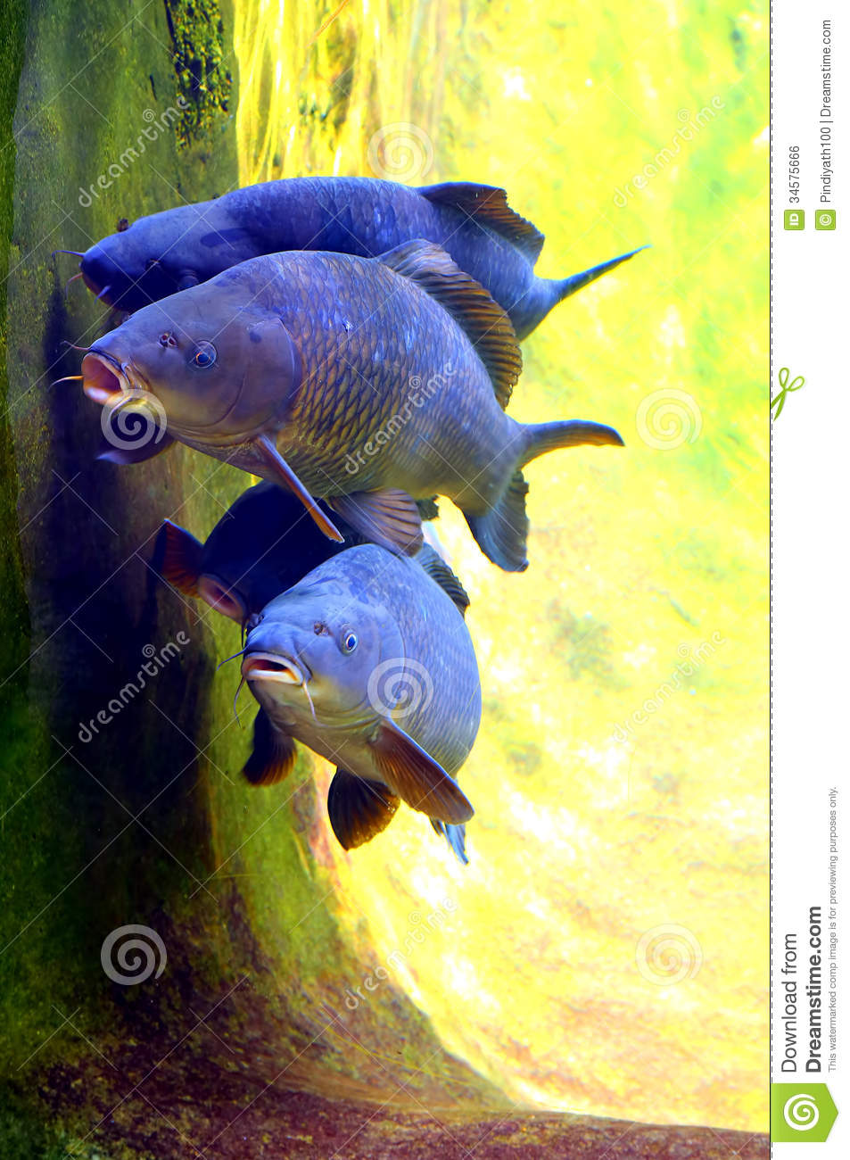 Koi or carp fish stock photo image of colors pair for Carp in a fish tank