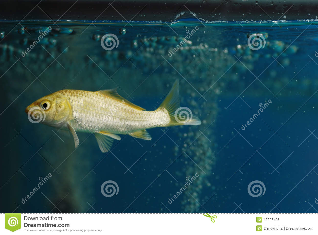 A koi carp fish swim in the glass aquarium stock image for Koi fish aquarium