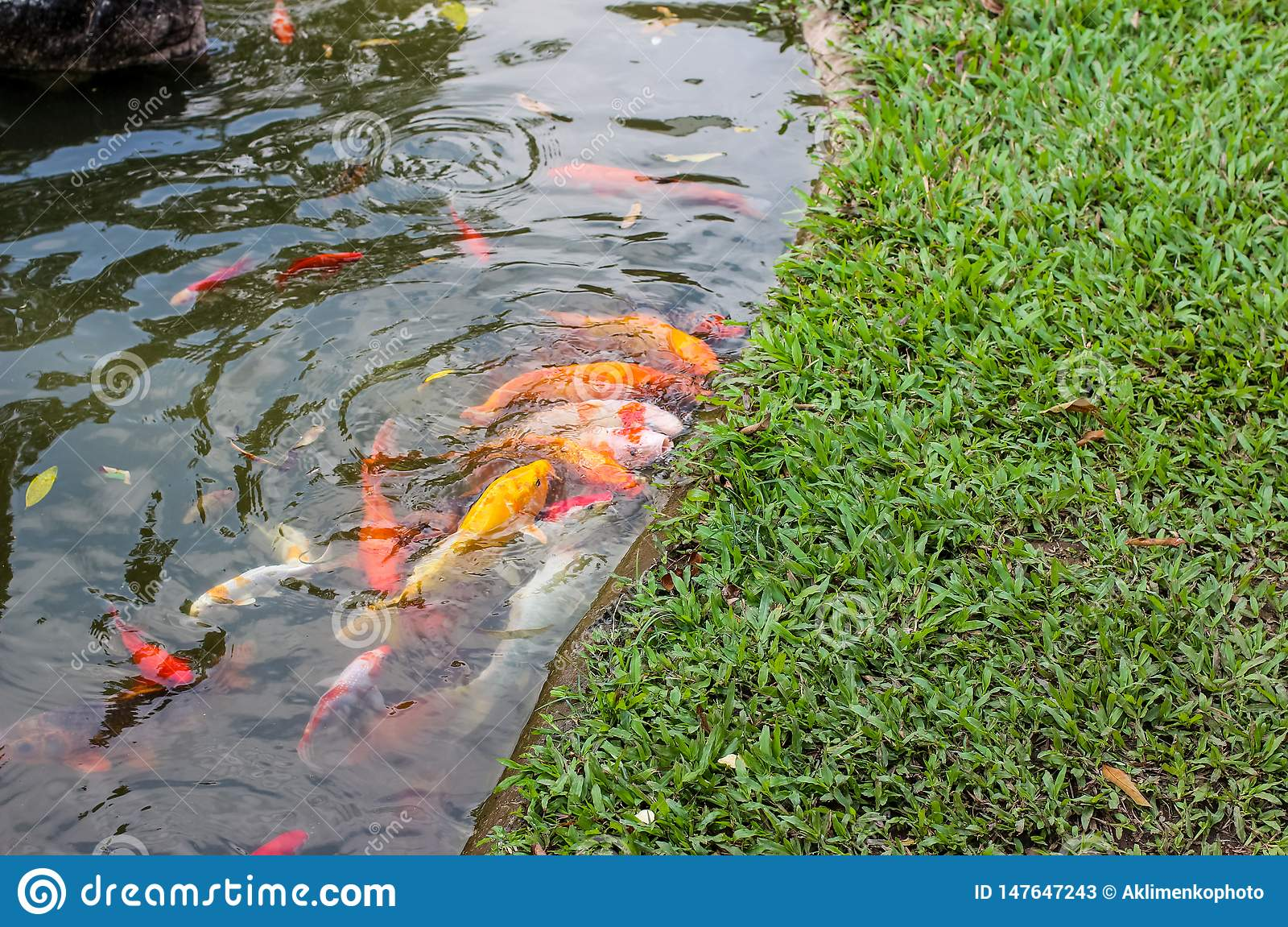 Koi carp fish swimming in a water. Golden fish swimming in pond.