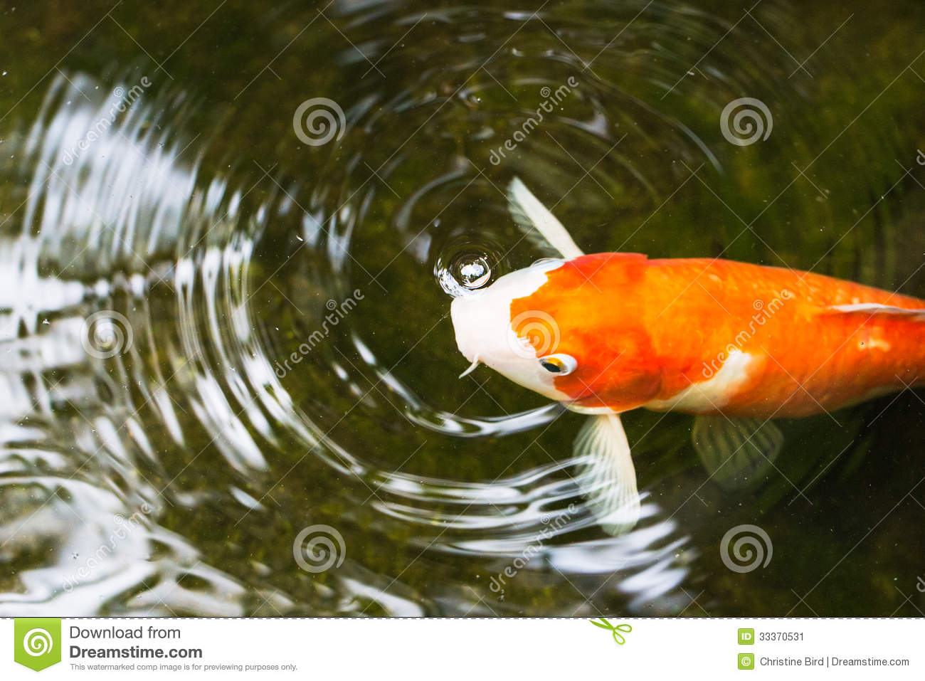 Koi carp stock image image 33370531 for Carp pond design