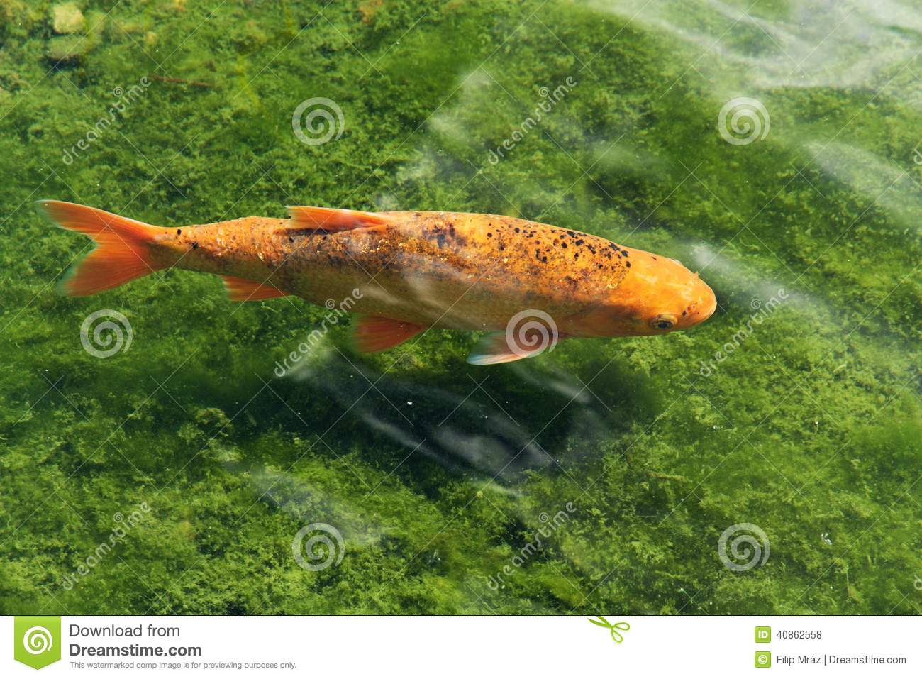 Koi carp stock photo image 40862558 for Orange koi carp