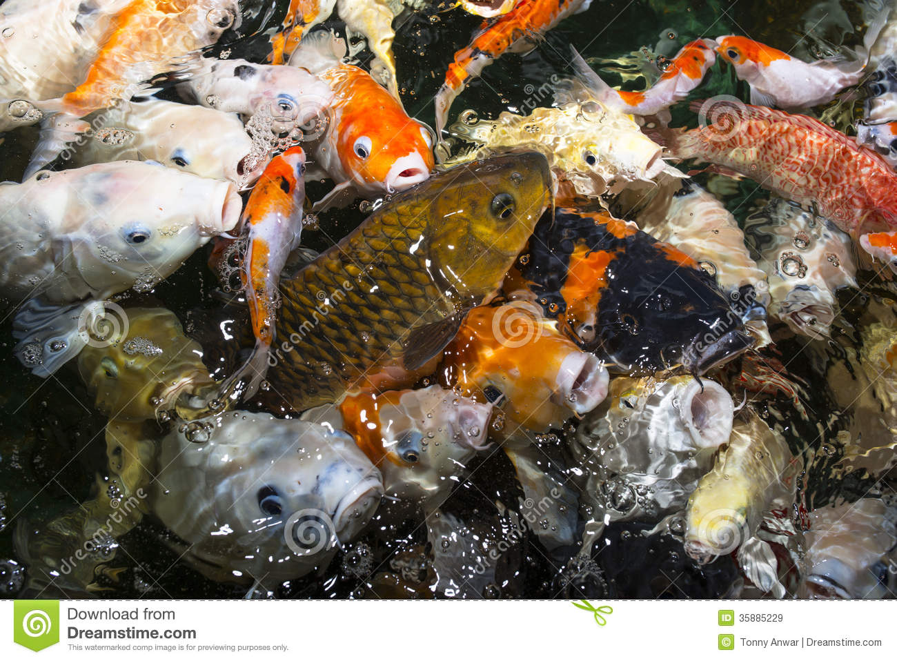 Koi carp royalty free stock images image 35885229 for Decorative pond fish