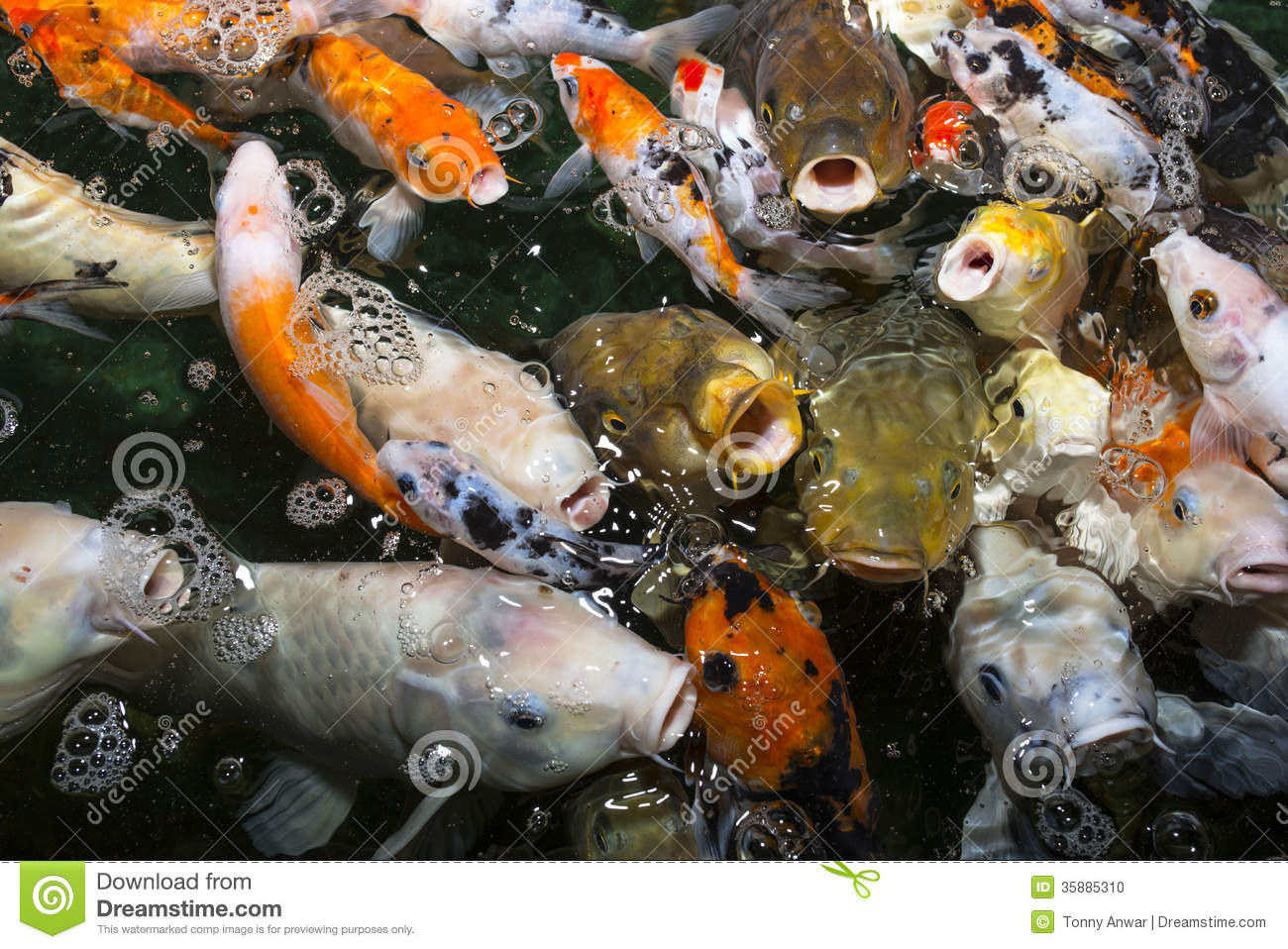 Koi carp stock photo image 35885310 for Decorative pond fish