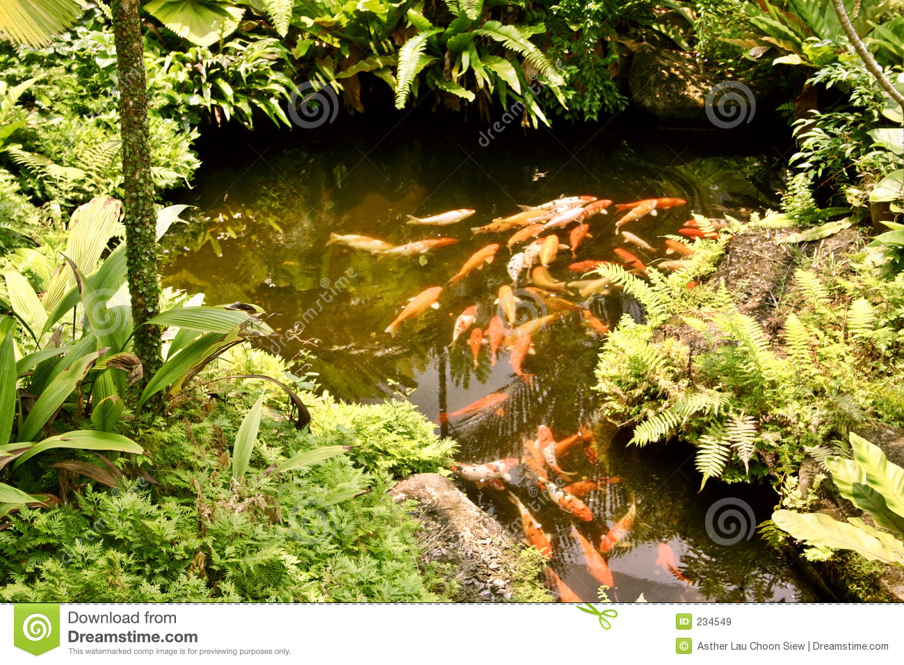 Koi carp in pond royalty free stock images image 234549 for Golden ornamental pond fish crossword