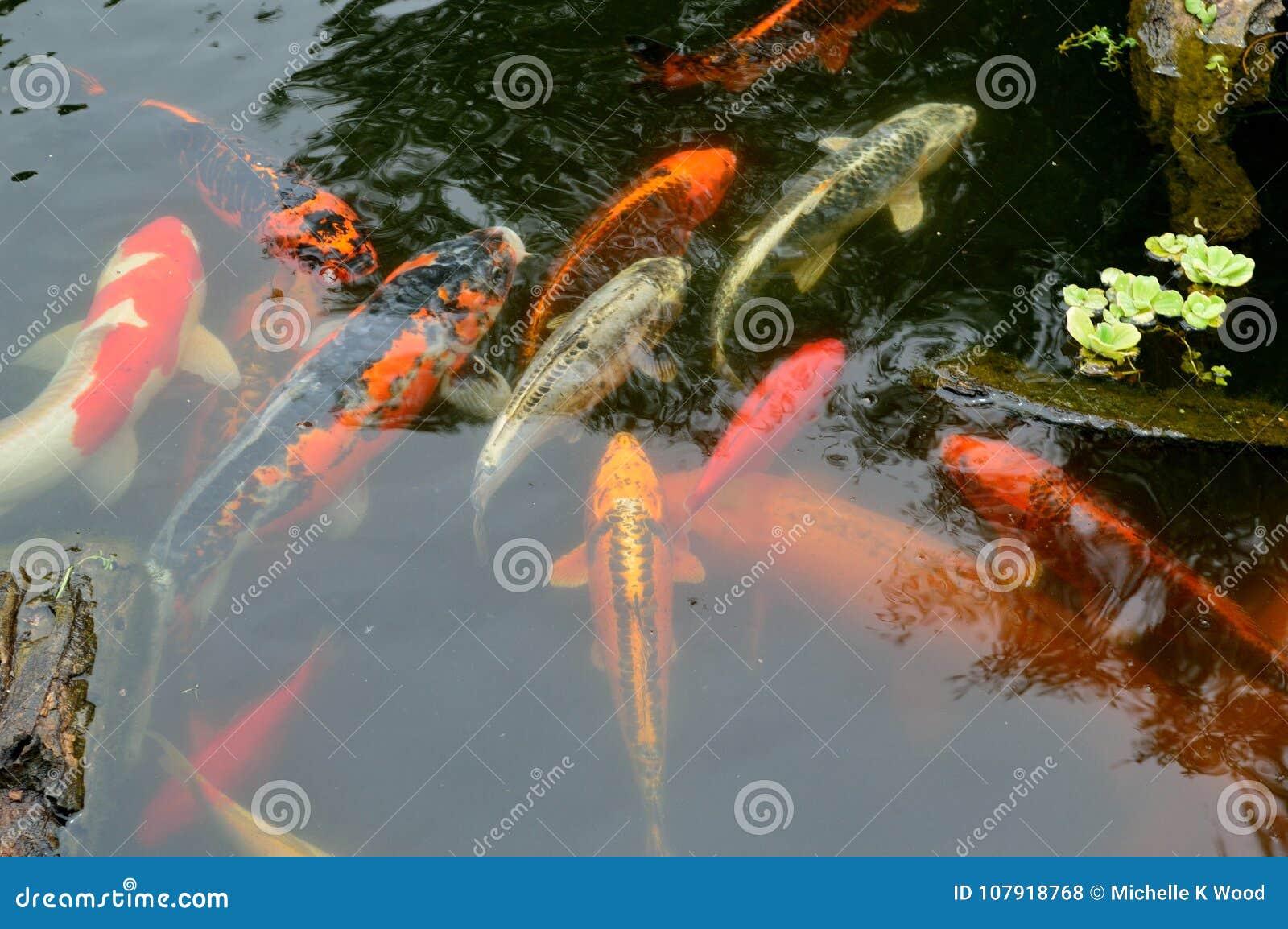 Koi carp pond with rocks and plants