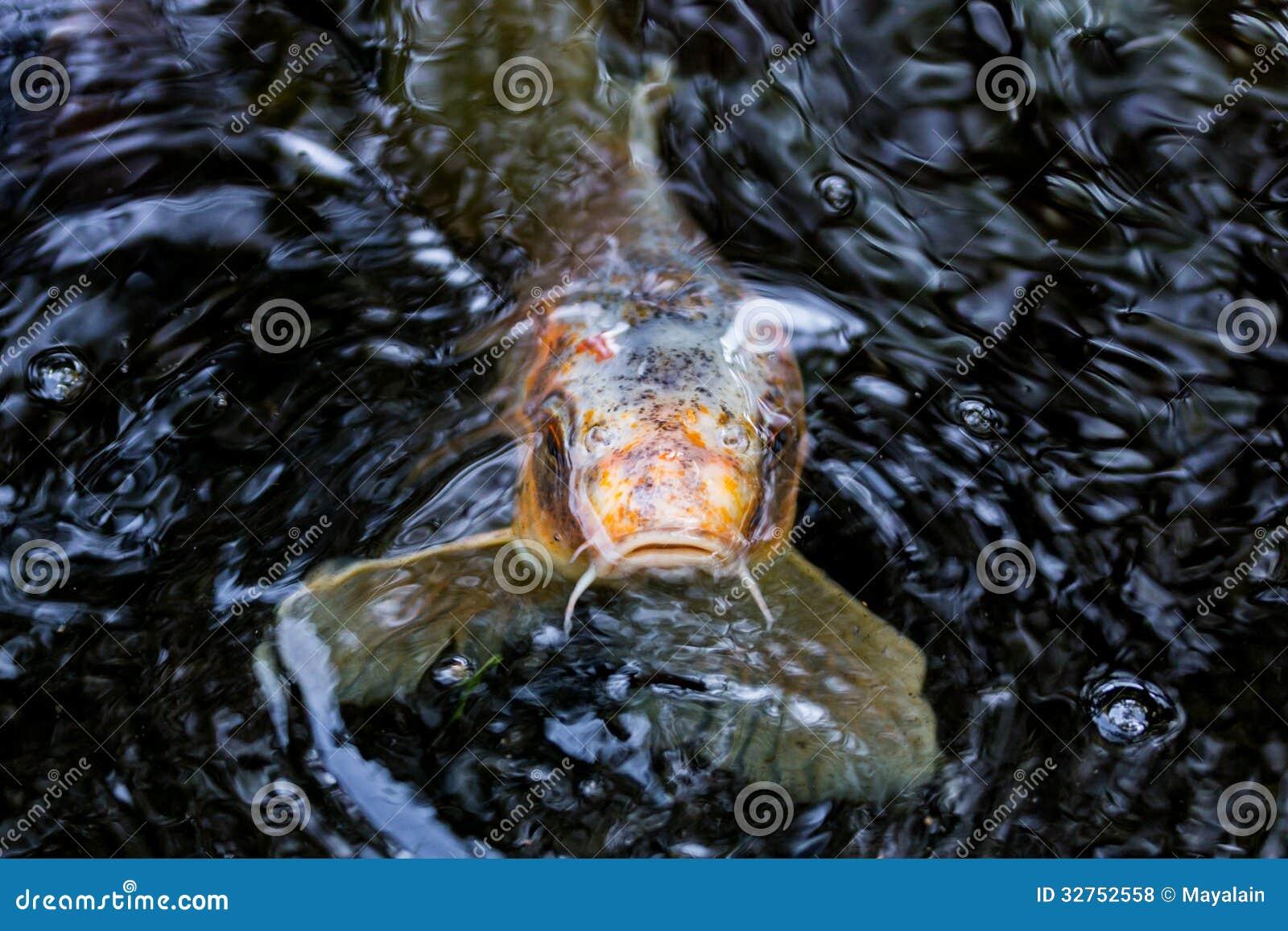 Koi carp royalty free stock photos image 32752558 for Fraie carpe koi
