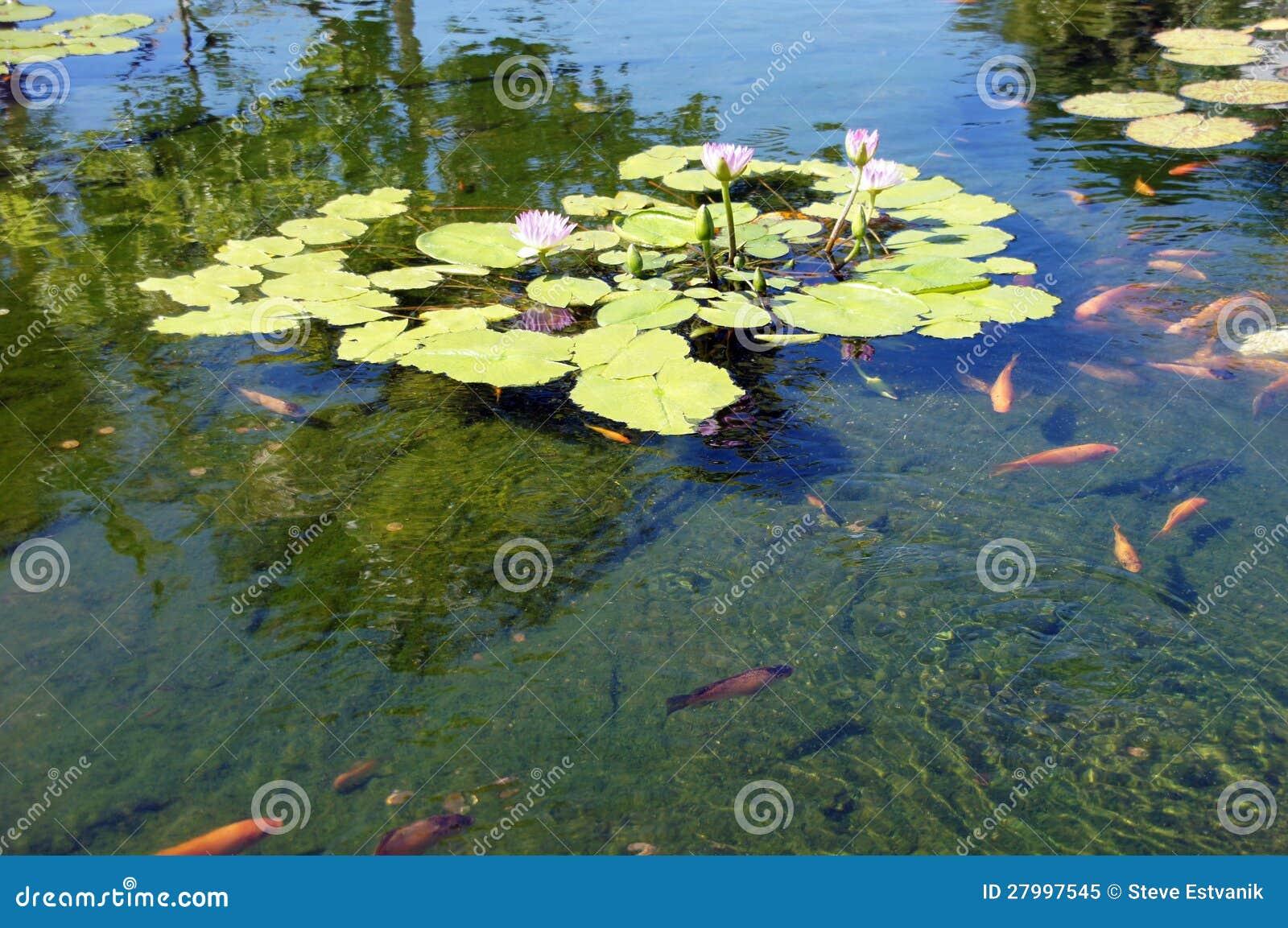 Koi carp swimming in shallow pool royalty free stock photo for Koi carp pool design
