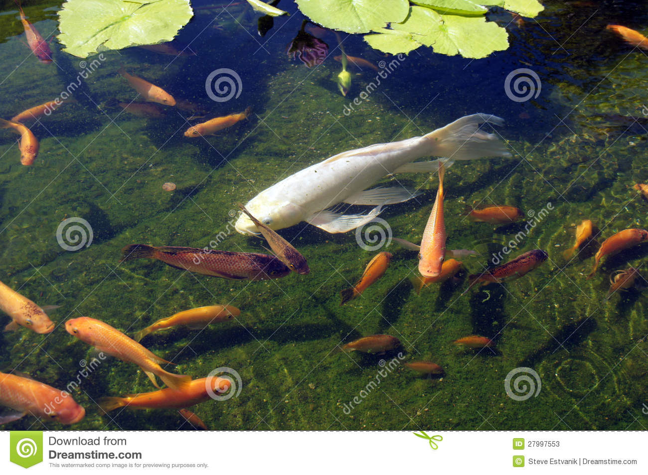 Koi carp swimming in shallow pool stock photos image for Koi swimming