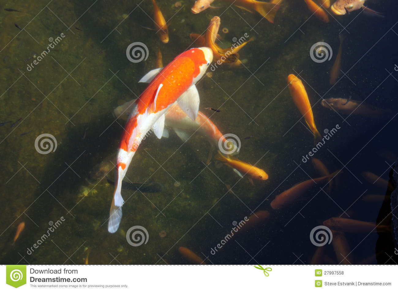 Koi carp swimming in shallow pool royalty free stock for Pool koi aquatics ltd
