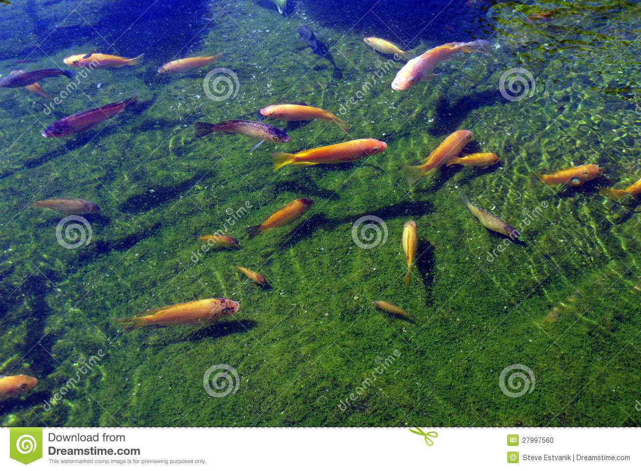 Koi carp swimming in shallow pool stock photo image of for Pool koi aquatics ltd